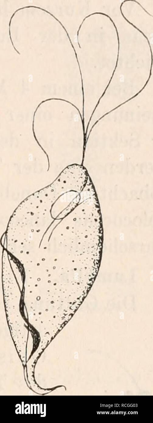 . Die Protozoen als Krankheitserreger des Menschen und der Hausthiere; für Ärzte und Zoologen Thierärzte,,. Als Flagellaten Krankheitserreger. 157. sowohl bei menstruirenden wie niclit mehr menstruirenderi Personen, wie Nichtschwangeren Schwangeren, selbst bei Mädchen von G-7 Jahren, sofern bei denselben Scheidenkatarrh mit saurer Reaktion des Sekretes besteht. La Bei Injektion alkalischer Flüssigkeiten werden die Parasiten getödtet (Braun). Unbekannt ist die bisher, ob- katarrh Triehomonaden den Scheiden hervorrufen oder nur Begleiter des- selben sind. Neuerdings hat Schmidt^) en drei Fällen von Foto de stock