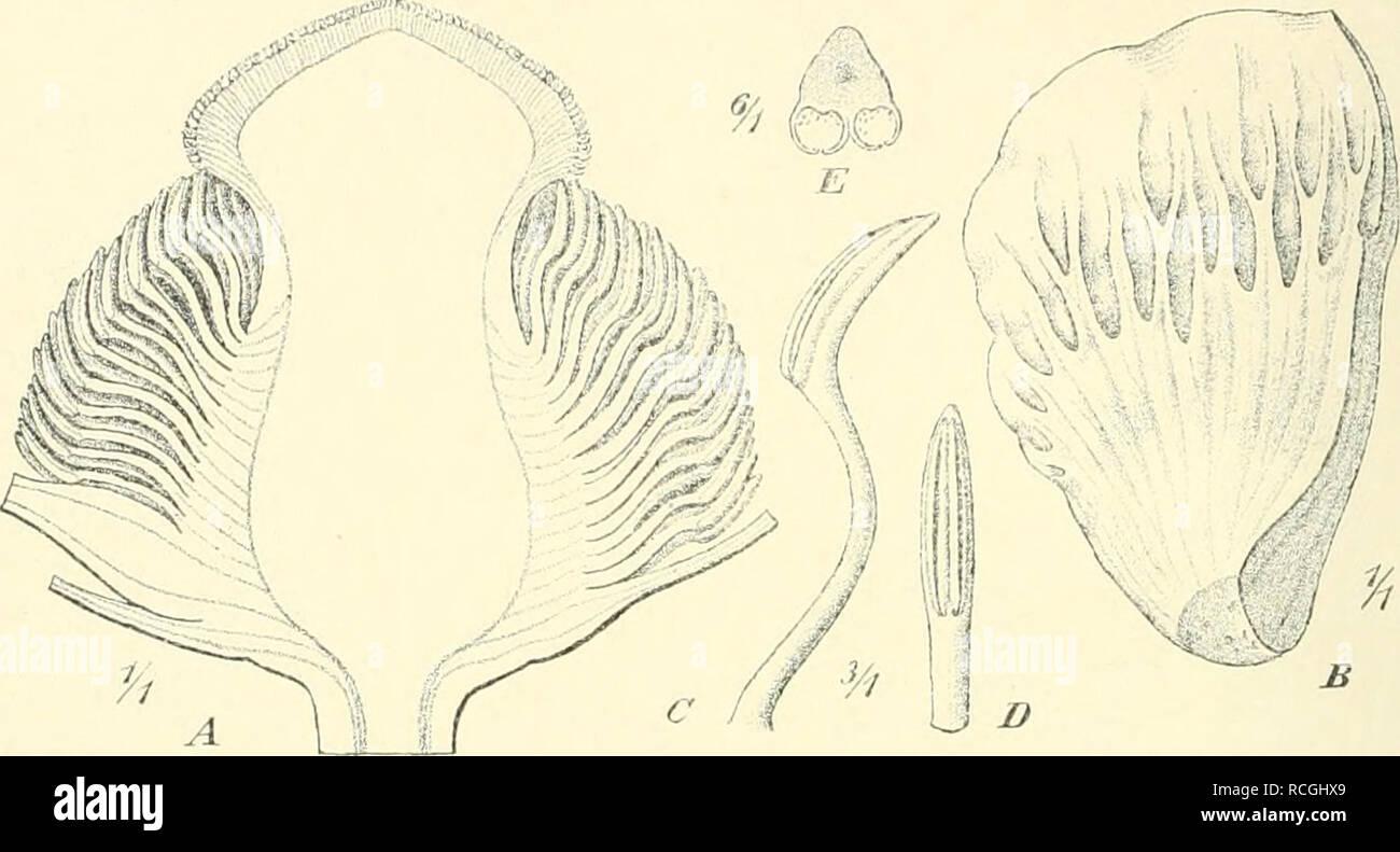 . Die Pflanzenwelt der peruanischen anden en ihren Grundzügen dargestellt. Plantas de montaña; plantas de montaña; Phytogeography; Phytogeography. 270 Dritter Teil. unterbrechen die Andere Grassteppe Formationen. En den Vereinen der Fel- senpflanzen bemerken als wir fremdartige, der Estepa fehlende vegetaciones-. Fig. 62. (Weddell gigantciDu Laccopctalum) Ulbrich. - Längsschnitt durch die Blüte nach der Entfernung Blütenhülle, B Halbiertes Blumenblatt von oben gesehen. C Anthere von der Seite gesehen. D Dieselbe von außen gesehen. E Im Dieselbe Querschnitt.. Por favor tenga en cuenta que estas imágenes son extrac Foto de stock