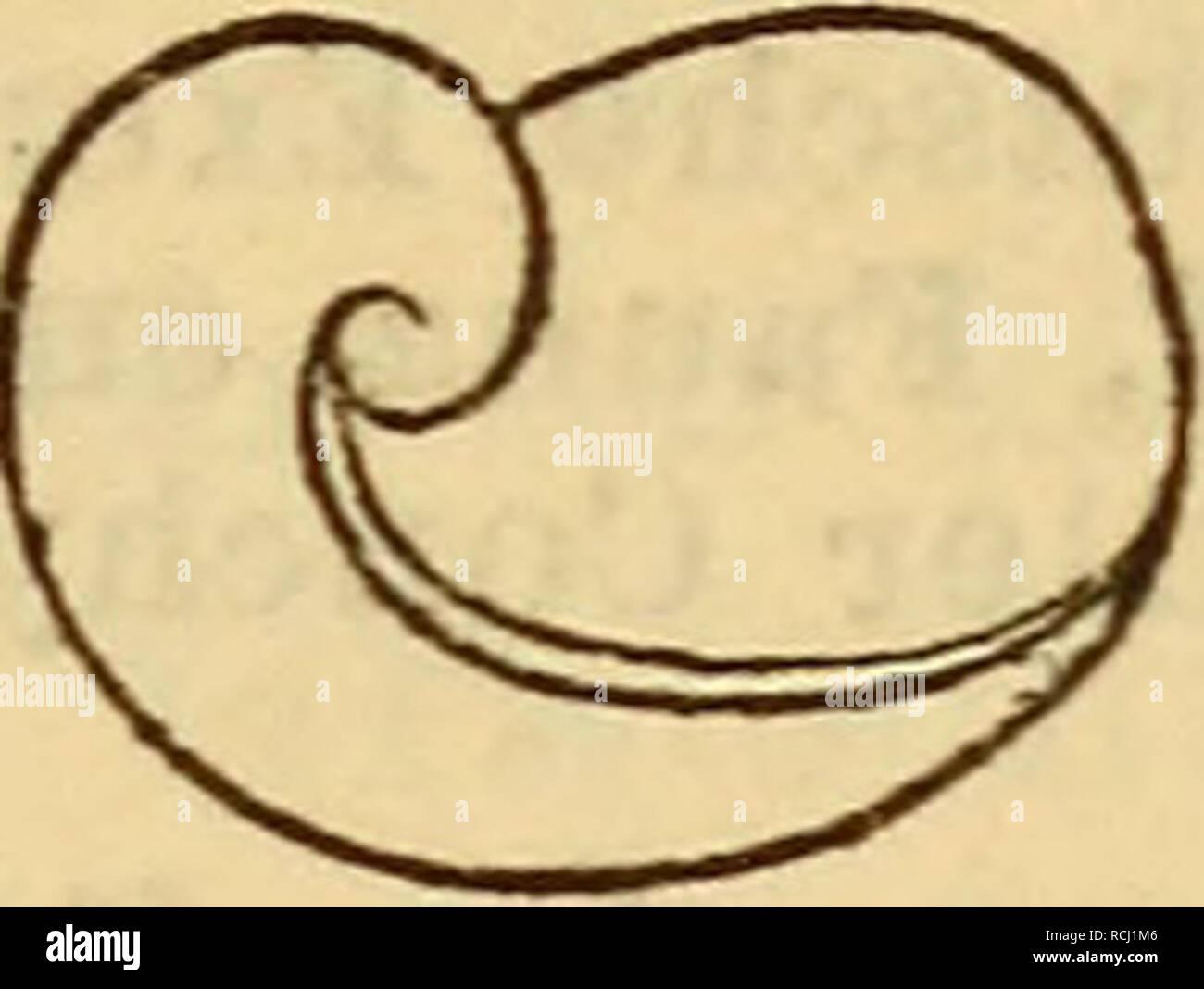 . Die Mollusken-Fauna Mitteleuropa. Los moluscos. ≪ZD Vitr. Kochi. La LGE. 3,2 mm., Br. 2,3 mm. Verbreitung: bei Patschkau en Schlesien und in Steiermark. Bemerkung. Die Art schliesst sich una Vitr. Char- pentieri, die jedoch mehr zu V. diaphana sich neigt, wäh- desgarrar mueren especies vorstehende mehr V. pellucida streift, un arte welche der namentlich schmale Hautsaum erinnert! Von Vitr. Charpentieri unterscheidet sie noch das weniger ge- drückte Gehäuse. 7. Vitrina nivalis Charpentier. Vitrina nivalis Charpentier en Clessin Deutsche Exe. Moll. Fauna 2. Aufl. pág. 74 f. 29. - Alpestris Clessin, mal. Blät Foto de stock