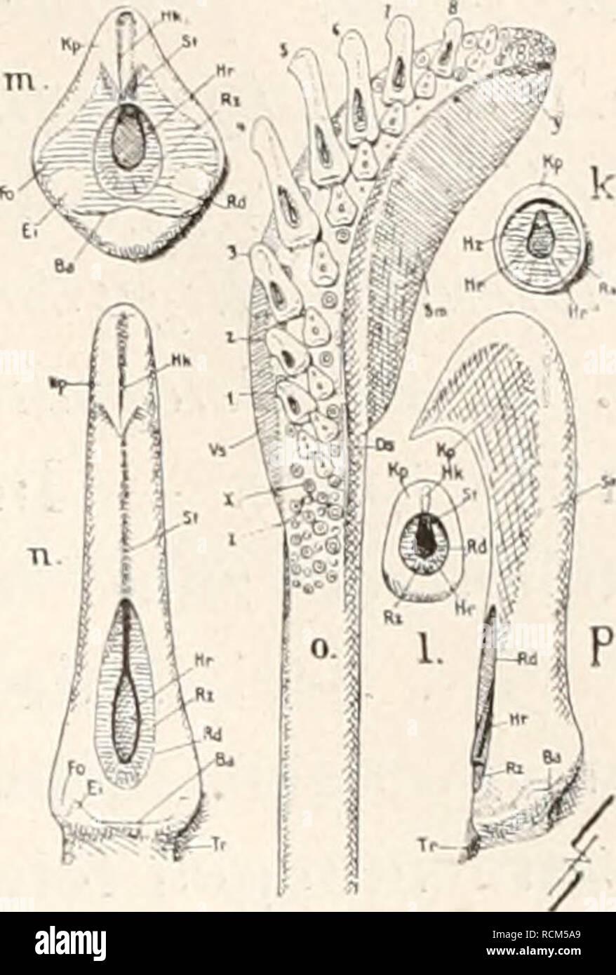 . Die fossilen Tintenfische; eine paläozoologische Monographie. Cephalopoda, fósil. B. Über den Bau der belemnoiden typischen Tintenfische. 189 treten. Auch B. Brughieri hat (VGL. Anders durchaus Passalotciithis)- artige Haken formulario (Huxley 1864) als Ac. Speciosa. Doch ist eine Untersuchung über die Verwertbarkeit vergleichende dieser Merk- macho erst auf Grund neuen, Materiales reicheren zu erwarten. f. Montar IC c i i. c. Fig. 68. Zur Morphologie der Haken ' bei fossilen und rezenten Decapoden. una problematica Acanthoteitfhis von Dai- ting (p. 151). *Yr b Acanthoteitthis speciosa von Solnhofen (p. Foto de stock