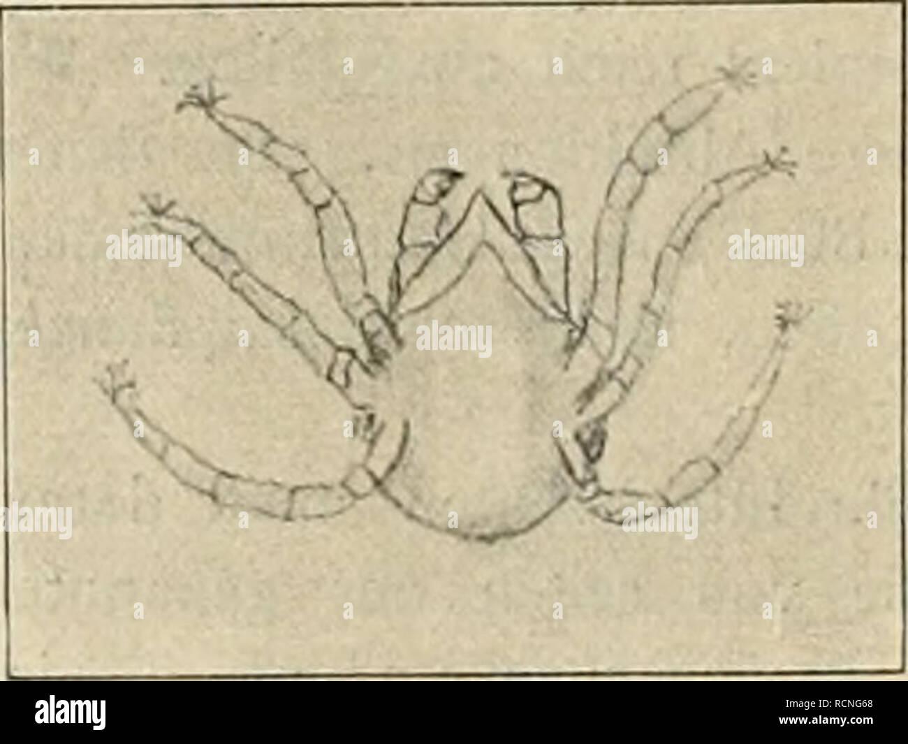""". Die Gartenwelt. Jardinería. r-- """"^â X '.-- ' i -â â Weibchen un 4. Männchen. (Tetranychus lelarius Lindenspinnmilbe) 86 mal vergröfsert. günstigen äufseren die Bedingungen Bevölkerung eines mäfsig grofsen Lindenbaums auf Millionen von Individuen und kann, anwachsen dieser ungeheuren Zahlé von Konsumenten kann schliefs- lich die ganze stattliche Laubkrone zum Opfer caído. Trocknen Ihres Saftes beraubt, die Bläme jor zusammen; unfähig, ihrer als Aufgabe des Baumes Emährungsorgane weiter nachzukommen, sie als unnütze sinken schliefslich Glieder zu Boden. Ein Tier, das de manera augenfälli Foto de stock"""