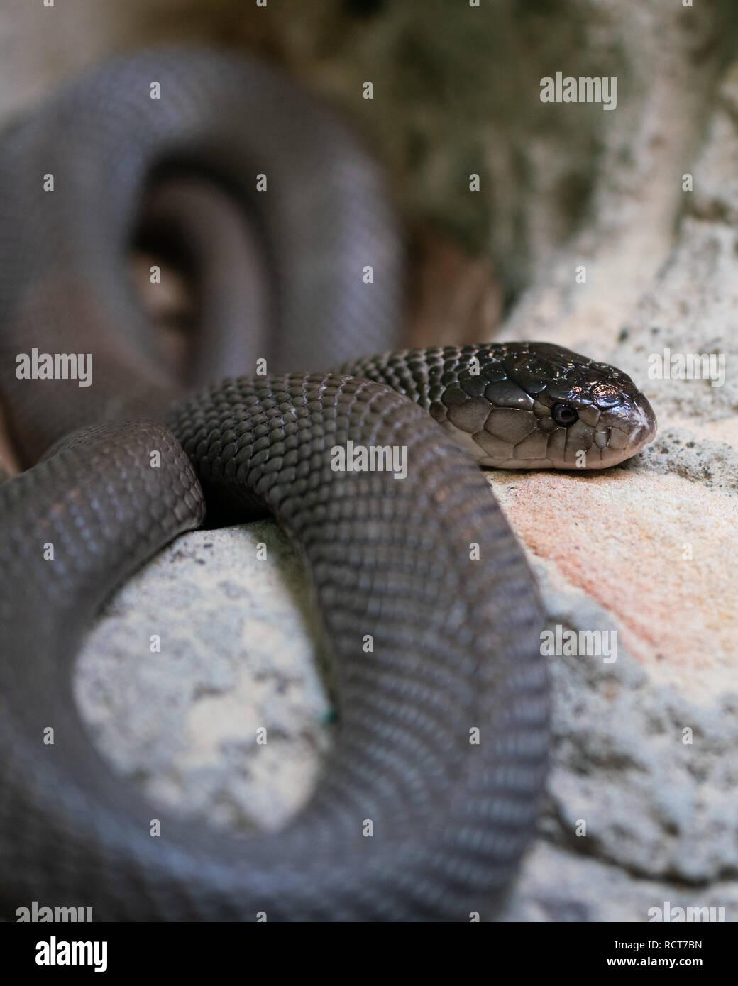 Vista cercana de un Trenzado Taipan continentales o Oxyuranus microlepidotus en Australia la mayoría de serpientes venenosas en el mundo Imagen De Stock