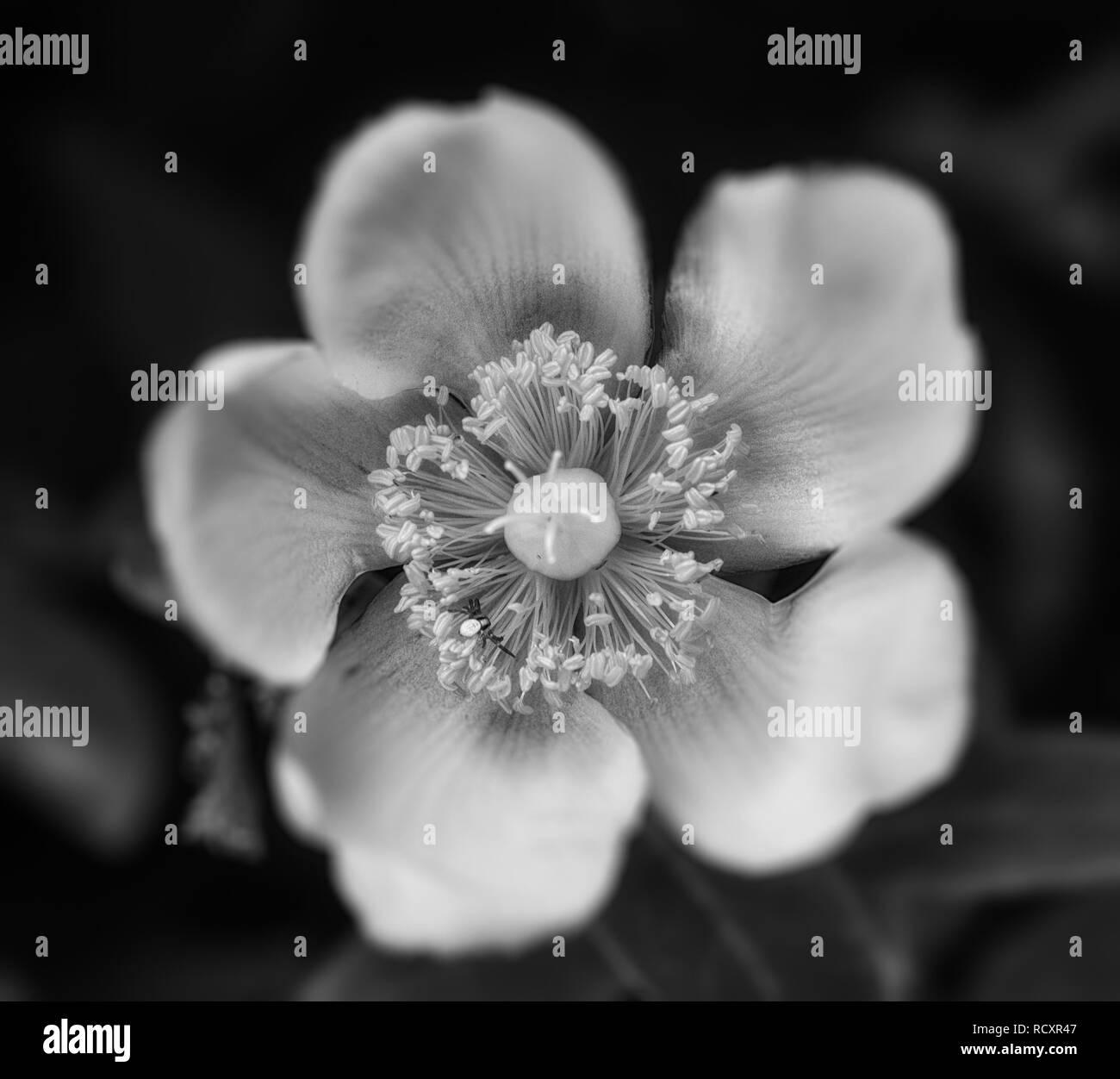 Monocromo Imagen floral exterior de una sola rosa silvestre aislado con una pequeña araña en la flor,natural fondo borroso,un día soleado de verano Imagen De Stock