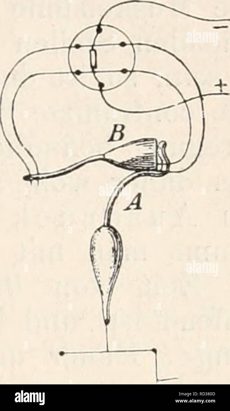 """. Elektrophysiologie. Die Wirkungen der Mnskeln elektromotorischen. 321 Wege steht^ Keizwelle und zu iclentiticiren """"Erregungswelle"""". Es würde sich daher nur darum handeln, die Beziehungen zwischen dieser letzteren und der """"Contractionswelle'^ festzustellen. Der Umstand, dass die contracción des Muskels ein Latenzstadium Avährend besitzt, die """"ein solches Reizwelle"""" nach Bernstein nicht erkennen lässt, ohne Weiteres beweist, """"en dass die Keizwelle gereizten einer der Contractionswelle Muskelfaser wenigstens theilweise voranläuft"""". En der que Helmholtz machte schon im Jahre 1854 Foto de stock"""