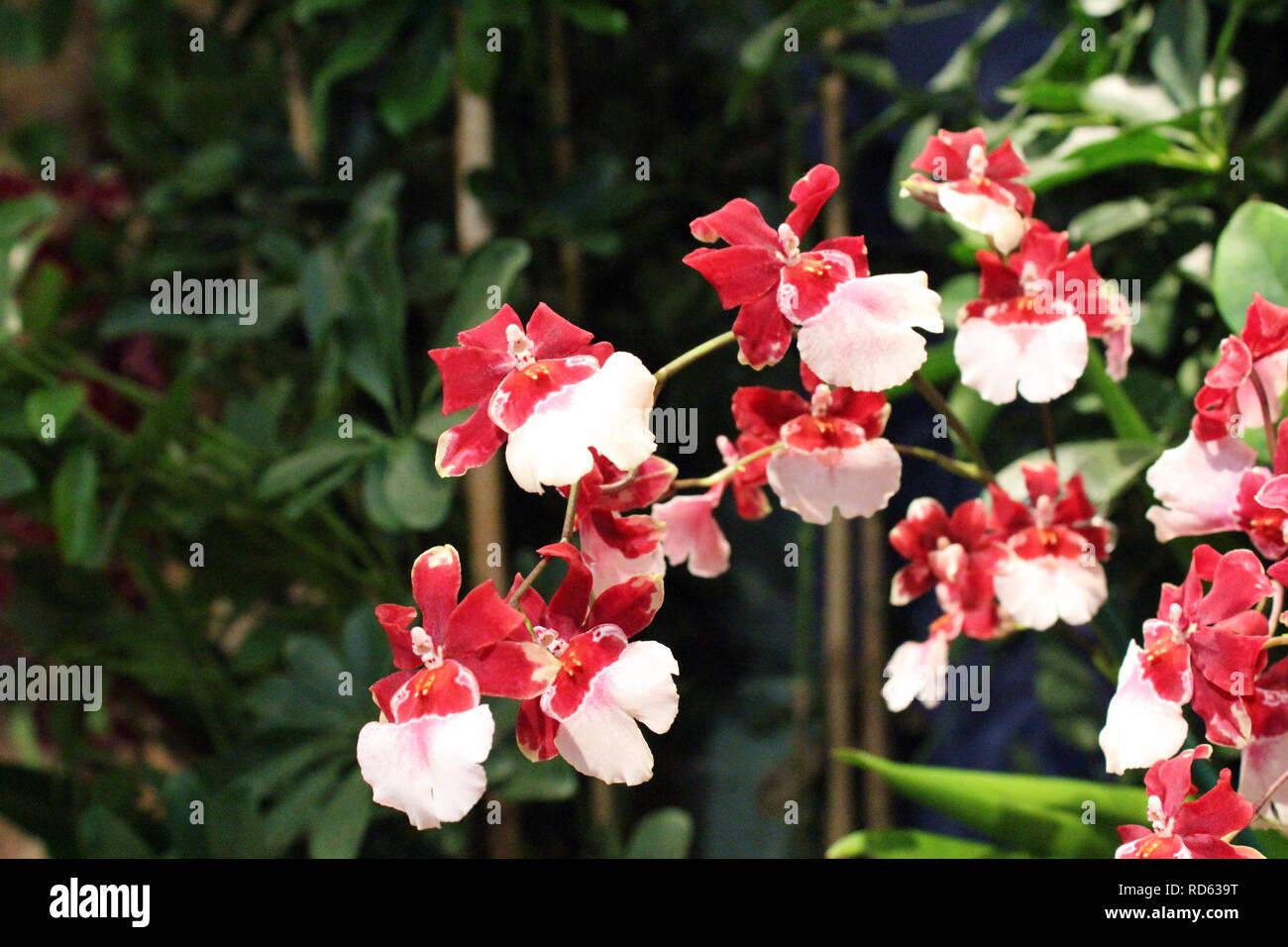 Un Ramo De Flores Rojas Y Blancas Orquideas Oncidium Foto Imagen