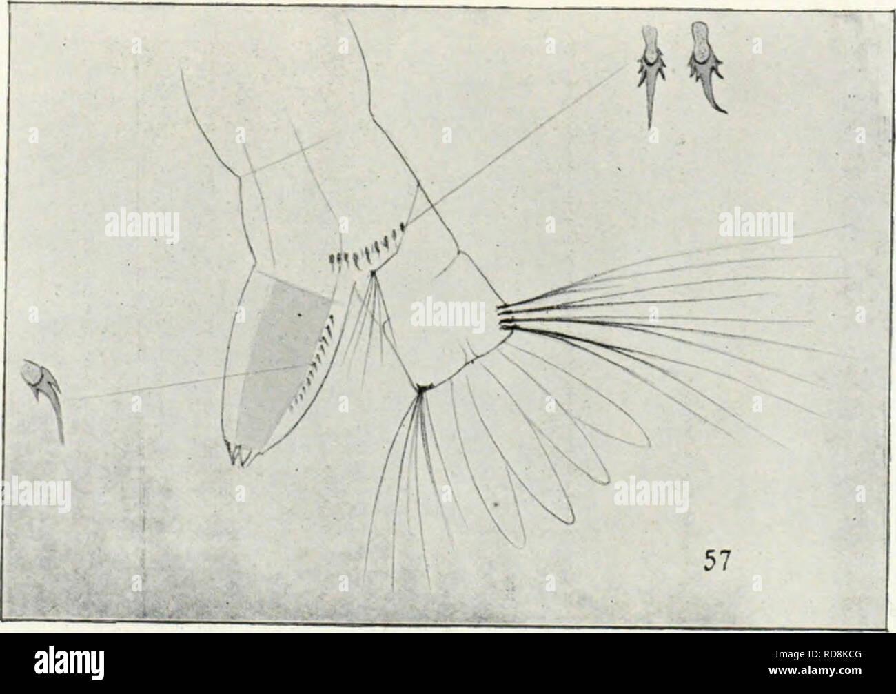 """. Os mosquitos no Pará?. Reunia?o de quatro trabalhos sobre os mosquitos indigenas, principalmente como especies que molestam o homen. Los mosquitos. Kg. 51. - Plaça labial (meií- lum) de uma larva de Ste- gomyia fascieta. Vista ])ho- lograi>liica coiu augmento bas- tante forte. Kg. 5"""". -Diseño de dos iliversos espi- nhos (TIJ).), anci- nho siidional da lar- va de Stego adulta- myia fasciata, FEI- nas mcsmati coudi- çõe."""" que una figura anterior. Fig. """"I. - Inia clirysa- lida (IC Stegomyia, vista pel(j lado ventral, em es- cala um tanto maior. 8a- lienta-se una tuba respira- tória curta. P Foto de stock"""