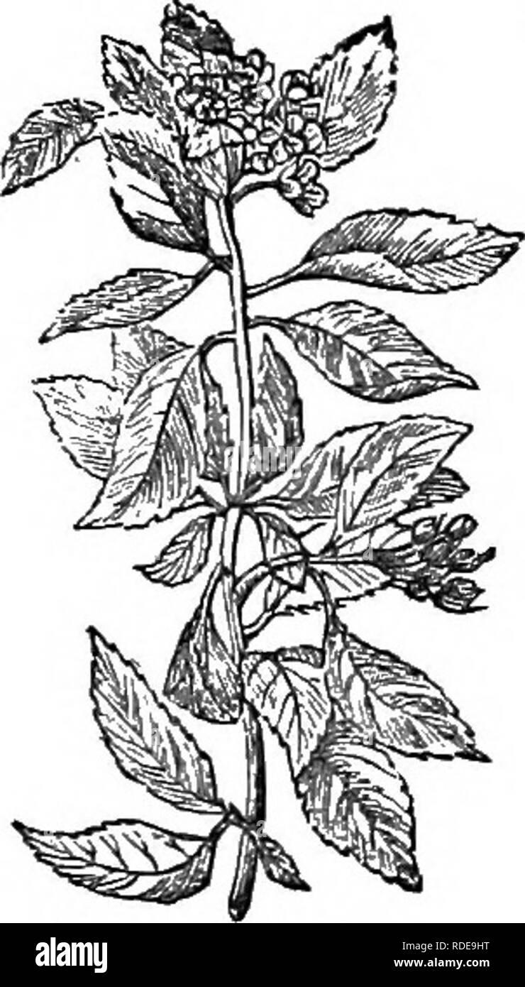 . Los árboles y arbustos : una versión abreviada del Arboretum et fruticetum britannicum : contienen los hardy schrubs y árboles de Gran Bretaña, nativos y extranjeros, y científicamente descrito popular : con su propagación, cultivo y usos y grabados de casi todas las especies. Los árboles, los arbustos, los bosques y la silvicultura. XXVI. bosa^cEjE: Py'rus. 437 secos, 48 lb. 8 oz. Se emplea para todos los propósitos diferentes a los que de P. ^^ria es appUcable, y es considerada más bien como combustible, y preferible para el carbón de leña. La fruta se introdujo en el mercado tanto en Inglaterra y Francia ; y, cuando está en un estado de incipi Foto de stock
