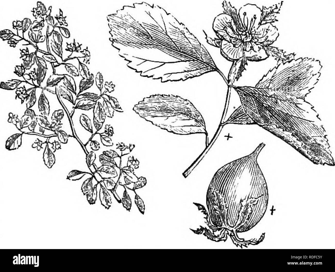 . Los árboles y arbustos : una versión abreviada del Arboretum et fruticetum britannicum : contienen los hardy schrubs y árboles de Gran Bretaña, nativos y extranjeros, y científicamente descrito popular : con su propagación, cultivo y usos y grabados de casi todas las especies. Los árboles, los arbustos, los bosques y la silvicultura. XXVI, Bosa^CEiE: CRAT^^GUS, 383 . parvifblia wats. Muertos. Brit; gus tomentbsa Cratffi'lin. Sp § xiii. Parvifblice. Secc. Char. Las hojas pequeñas, ovaladas, dentadas o escotado, pero difícilmente lobulados. Fruta verde o amarillo verdoso ; bastante grande, hai-d. Si 25. C. PARViFO^LiA Ait. El pequeño-hojas Foto de stock