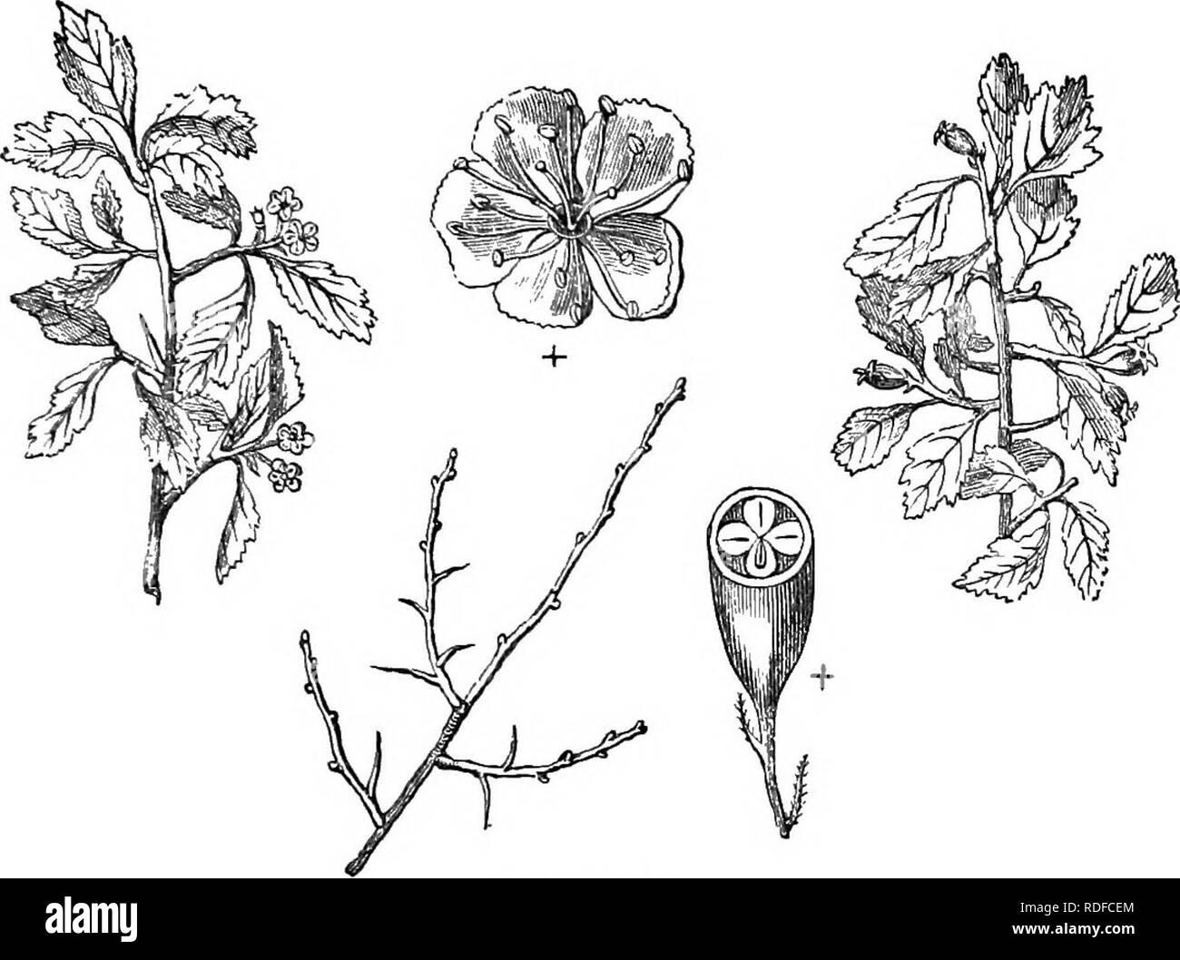 . Los árboles y arbustos : una versión abreviada del Arboretum et fruticetum britannicum : contienen los hardy schrubs y árboles de Gran Bretaña, nativos y extranjeros, y científicamente descrito popular : con su propagación, cultivo y usos y grabados de casi todas las especies. Los árboles, los arbustos, los bosques y la silvicultura. XXVI. BOSA^CEiE : CRATiE^GUS. 365. C49. C. fl&TB. desde Virginia a Carolina. Altura 15 ft a 20 ft. Presentado en .72*. Flores blancas; el mes de mayo. Haws amarillo; maduro en octubre. Hojas decadente de color amarillo. Las flores y los frutos no son producidas en abundancia, ni hacer ningún gran espectáculo Foto de stock