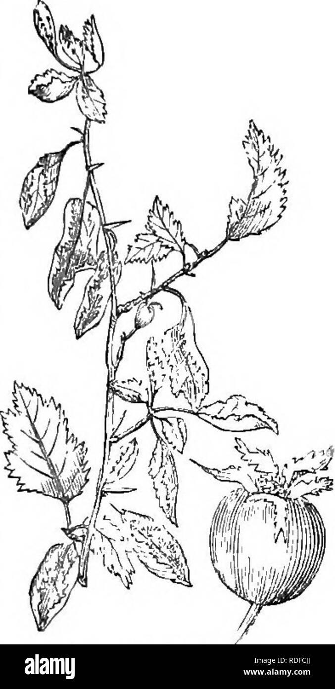 . Los árboles y arbustos : una versión abreviada del Arboretum et fruticetum britannicum : contienen los hardy schrubs y árboles de Gran Bretaña, nativos y extranjeros, y científicamente descrito popular : con su propagación, cultivo y usos y grabados de casi todas las especies. Los árboles, los arbustos, los bosques y la silvicultura. XXVI. BOSA CEjE : CRATJE'GUS. 355 9 C. g. 3, C. subvillosa subvillosa Fisch., (nuestro /g.636. Y ^.681. En la pág. 388.) es aparentemente otra variedad de pre- cedente, ordenar o, quizás, de C. cocclnea. Es muy distinto en apariencia, de su velloso, hojas torcidas y raquíticos tortuoso Foto de stock
