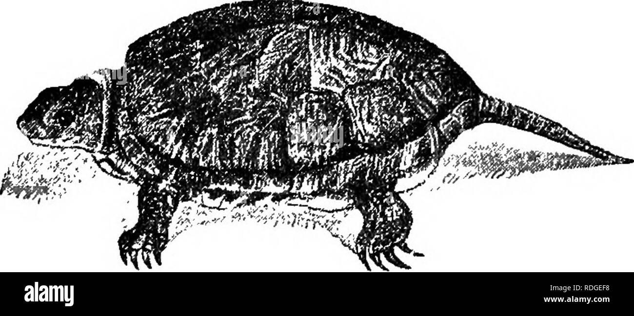 . Acuarios de agua dulce: su construcción, organización y gestión, con una información completa en cuanto a las mejores plantas de agua y vivir existencias para mantenerse, cómo y dónde obtenerlos y cómo mantenerlos en salud. Los acuarios. Los anfibios. 93 tayikos, y un compañero fue purctased para compartir con él. Esta y otras experiencias me han enseñado que, aunque muy pequeño tortugas va a vivir pacíficamente con los peces, más grandes, no lo hará. Los Emydes cuyo caparazón, o placas de sujeción, no son más de dos pulgadas de diámetro será bastante inofensiva entre los simples habitantes de un acuario, por lo menos he encontrado tales Imagen De Stock