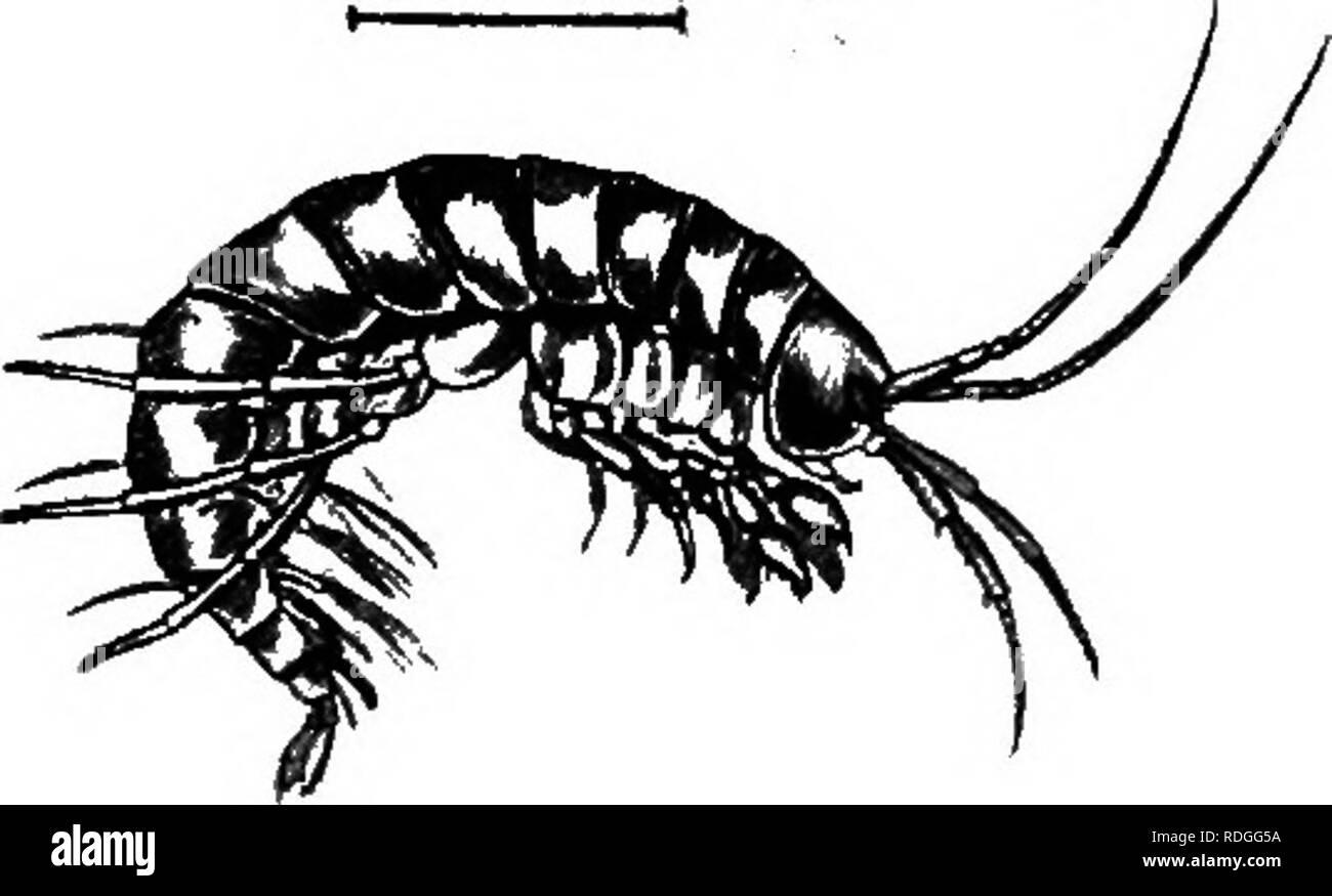 . Una introducción a la zoología, con instrucciones para el trabajo práctico (invertebrados). XII CRUSTACEA 169 un curioso hecho conocido sobre los cangrejos ermitaños es su costumbre de vivir en colaboración con ciertas otras criaturas ; por ejemplo un hermoso mar Cerda {Nereis fumta-worm) es muy frecuente que se encuentran dentro del shell, aunque conectados externamente puede haber uno o más especial las anémonas de mar o un clúster del poco zoophyte Hydractinia. Aunque el cangrejo es carnívora, todos estos formularios asociados vivir pacíficamente juntos, los huéspedes alimentando a los descartados de bocados de la comida del cangrejo. Sésiles-ey Imagen De Stock
