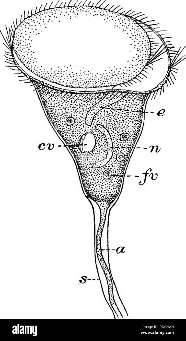 Vorticella Estructura