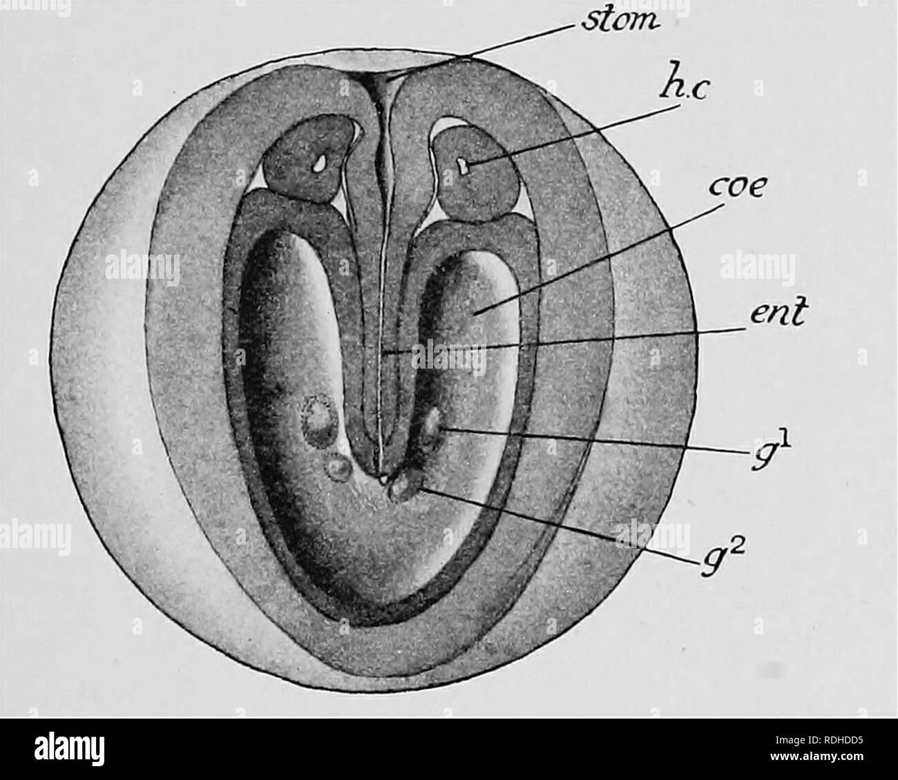 Libro De Texto De Embriologia Embriologia Xiv Chaetognatha