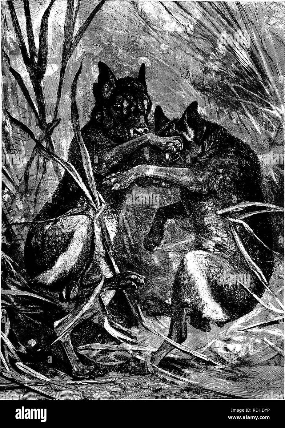 . Los animales del mundo. Brehm la vida de los animales;. Los mamíferos. MABA OB FATAGONIAIf CAVY. Habitar la mayoría improductivas regiones de un país desolado, viviendo en agujeros en la tierra estéril y huyen al menor sonido, estos animales son raramente observadas por los investigadores. Como una cosa habitual estos queer, orejas largas, patas largas roedores son muy pacíficamente dispuestos y amigable con otros de su especie. Ocasionalmente se planteen diferencias entre dos hombres, sin embargo, Maras y luego pararse sobre sus patas traseras. y luchar con su avance-paws, descrita por el artista. (Dolichotis fatagonica.) (361). Imagen De Stock