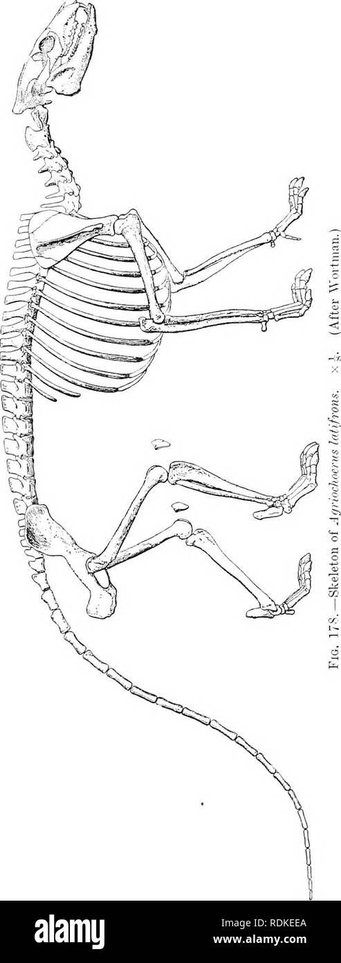 . La historia natural de Cambridge. La zoología. FROTOREODON. jóvenes. Hay varias especies. La Agri- ochoerus, como Oreodon y primitivo Ungu- lates, en general, había una larga cola. El género, por lo tanto, muestra una mezcla de antiguo y especial- ides caracteres. La forma más antigua de Oreodont es Protoreodon. Esto es Eoceno y extinguida durante ese período. Tenía una dentadura, com- pleta órbita abierta, y no lachry- fosa mal. La palestra- pies eran cinco vetado, hind cuatro vetado. Fam. Theriidae Anoplo-. - Esta familia es enteramente eoceno en punto de tiempo, y es desconocido fuera de Europa. La dentición del gro Foto de stock