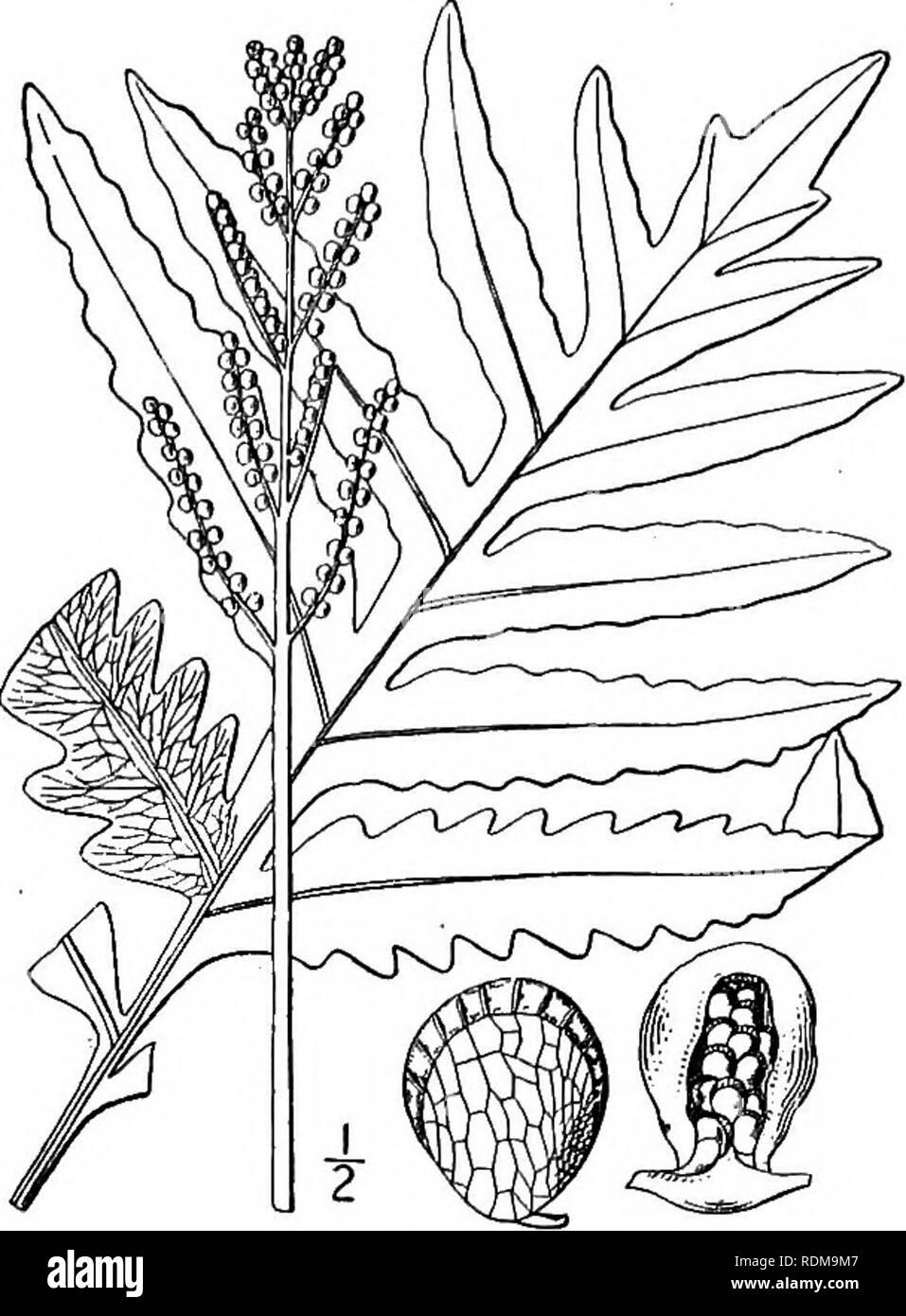 . Un ilustrado de la flora del norte de Estados Unidos, Canadá y las posesiones británicas, desde Terranova hasta el paralelo de la frontera meridional de Virginia, y desde el océano Atlántico hacia el oeste hasta el meridiano 102d. La botánica; la botánica. Género i. Familia de helechos. 11 Yo. Onoclea sensibilis L. sensible helecho. Fig. 21. Onoclea sensibilis L. sp. PI. 1062. 1753. Portainjerto más esbelta, copiosamente enraizamiento. Fer- hojas de mosaico i°-2j° alta, persistente durante el invierno, la parte fértil bipinnate, mucho contratado, el corto pinnules enrollada en baya-cerrado como órganos y formando un estrecho cerca de panoja. Ster Foto de stock