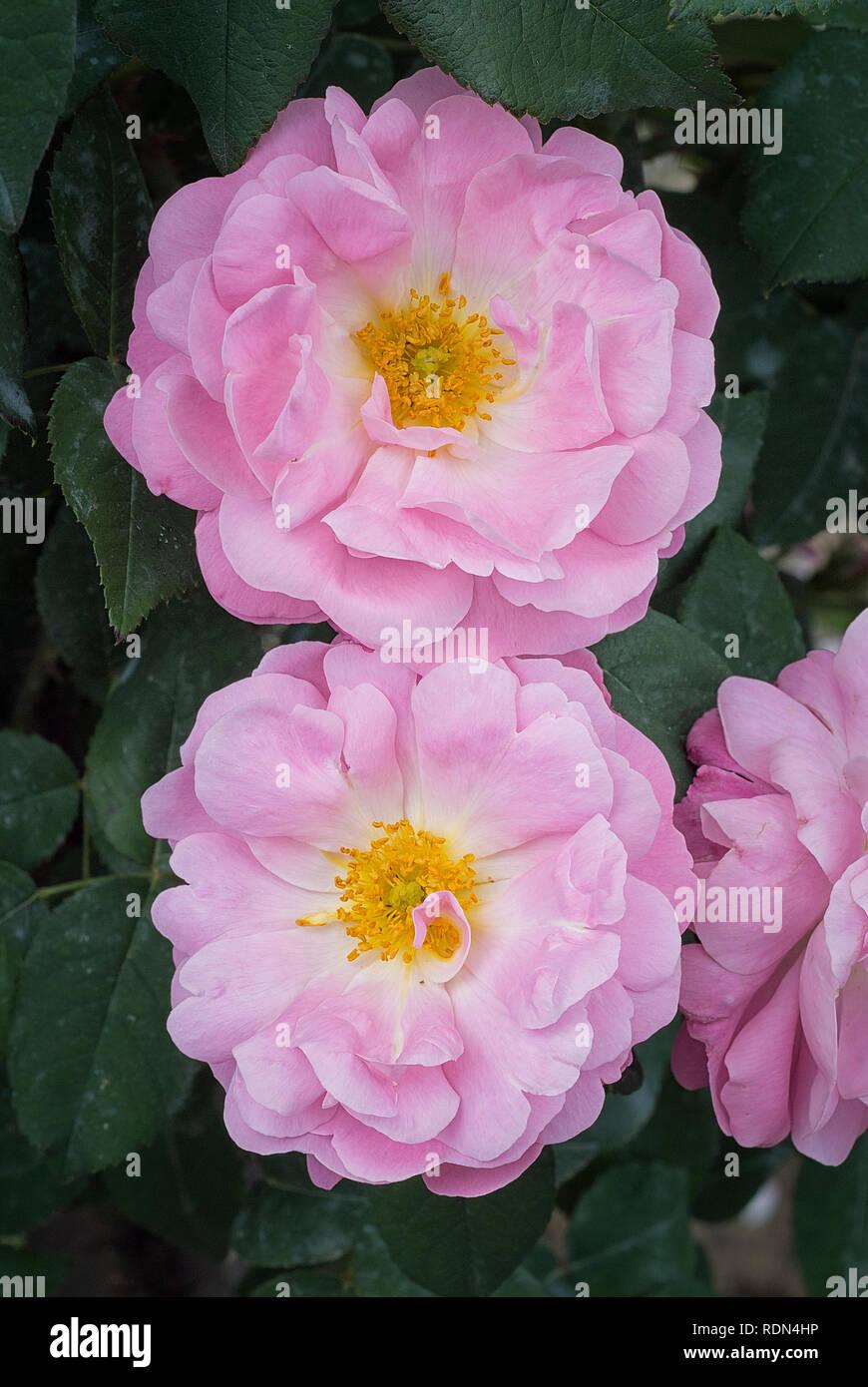 Rosa Cv Belle Amour Rosaceae Shurb Alba Damasco Flor
