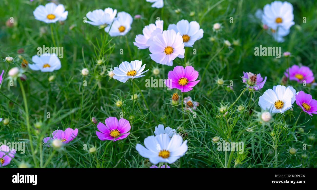 Cosmos bipinnatus las flores brillan en el jardín de flores ...