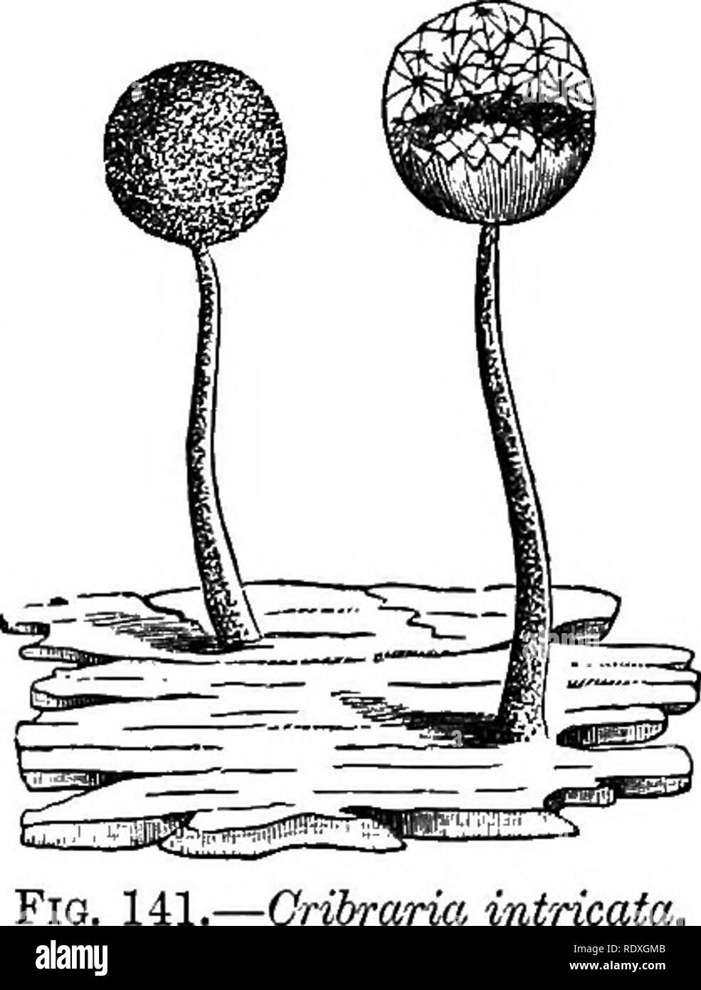. Introducción al estudio de los hongos; su organography, clasificación y distribución, para el uso de colectores. Los hongos. Limo-HONGOS MYXOMYCETES 313 clasificación que ha sido adoptado por estos organismos singulares, los caracteres que se derivan de la condición reproductiva y final. La primera de las cuatro órdenes, en que todo el grupo se subdivide, es el Peritrichiaceae, en la cual la pared de los esporangios no está incrustada con cal, y la capillitium está ausente o formado a partir de la pared de los esporangios. Este nuevo orden es subdividido en dos subórdenes de Foto de stock