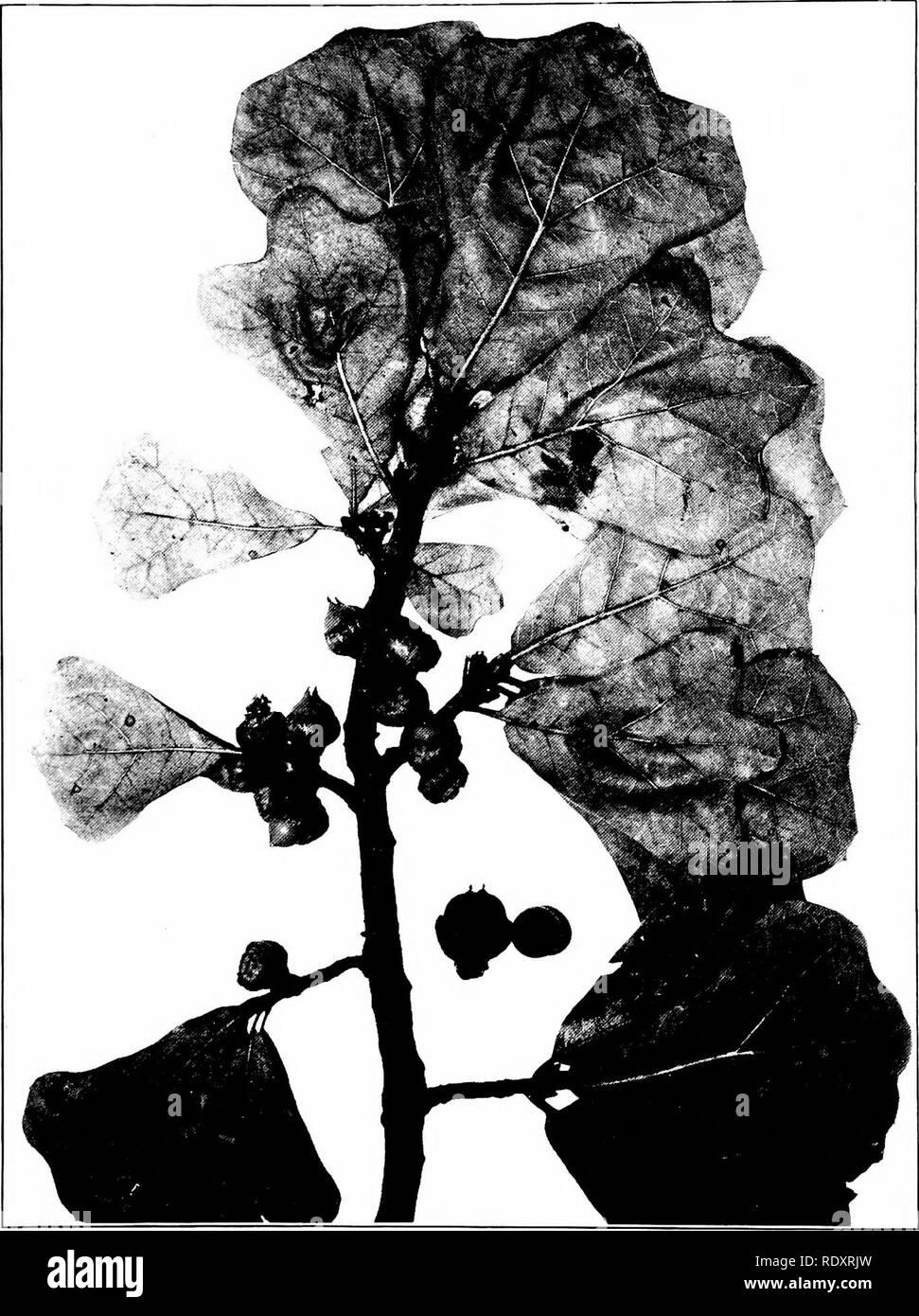 . Árboles de Indiana. Los árboles. 13(3 placa .jO.. QUERCUS MARILAXDICA Muenchhausen. Black Jack Roble. (X i^.). Por favor tenga en cuenta que estas imágenes son extraídas de la página escaneada imágenes que podrían haber sido mejoradas digitalmente para mejorar la legibilidad, la coloración y el aspecto de estas ilustraciones pueden no parecerse perfectamente a la obra original. Deam, Charles Clemon, 1865-1953. Fort Wayne, Indiana , Fort Wayne Printing Co. Foto de stock