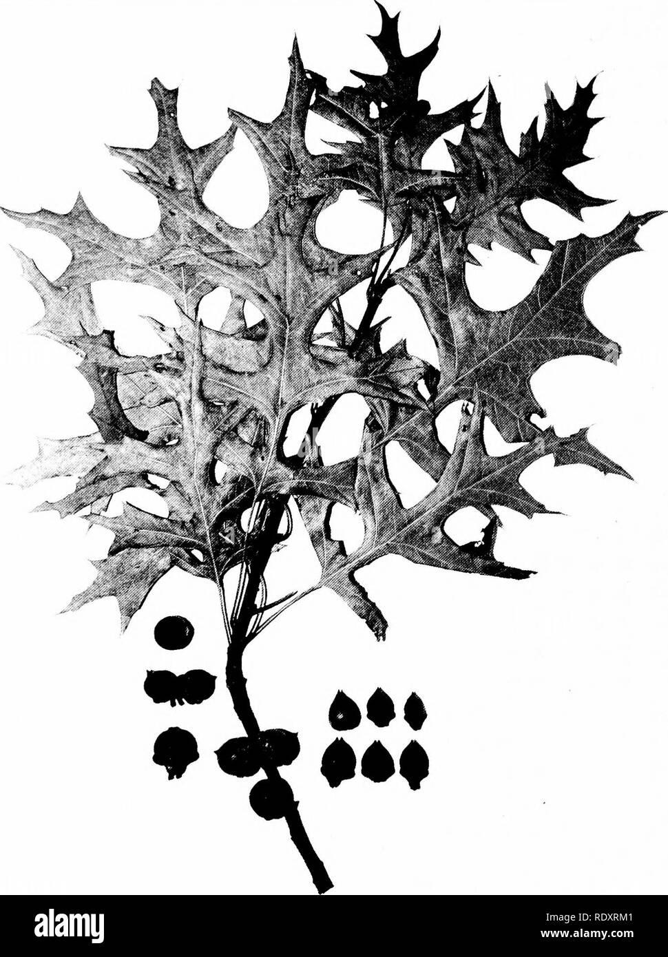 """. Árboles de Indiana. Los árboles. 124 Placa -""""iO.. QUEHCUS PALUSTRIS Muenchhausen. (X >2-) bellotas de diferentes árboles. Aquellos en la izquierda la forma común, los de la derecha la forma rara.. Por favor tenga en cuenta que estas imágenes son extraídas de la página escaneada imágenes que podrían haber sido mejoradas digitalmente para mejorar la legibilidad, la coloración y el aspecto de estas ilustraciones pueden no parecerse perfectamente a la obra original. Deam, Charles Clemon, 1865-1953. Fort Wayne, Indiana , Fort Wayne Printing Co. Foto de stock"""