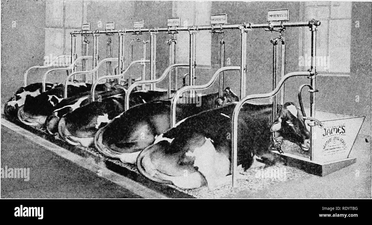 . La lechería productiva . La industria lechera. Pateando vacas 171 con alquitrán, para formar una costra, temporal y a repeler las moscas. , Oh£ Curso, es preferible aplicar el alquitranado algodón como medida de precaución, más que como un recurso. Vacas sin cuernos vivir juntos mucho más pacíficamente, desplazando sobre el depósito de agua, como tantas ovejas, que el comité de supervisión de adquisiciones- tice de permitir los cuernos permanecen en el hato lechero de trabajo debe ser considerada como una extravagancia, en el mejor de los casos un lujo. Como práctica de trabajo, es preferible evitar el cuerno de gTOwing en la pantorrilla por medio de cáustico. Chupar las vacas son susceptibles de desarrollarse si los terneros son Imagen De Stock