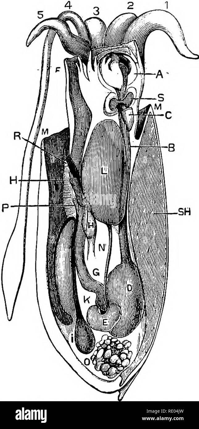 . La fisiología de los animales domésticos; un libro de texto para los veterinarios y estudiantes de medicina y profesionales. Fisiología, comparativo; animales domésticos. Cerdo. 65.-Sección esquemática de caracol. (Wilson), un pie; B. el opérculo: C, tentáculos: D. boca; E. sali- varían las glándulas; F, estómago; G G, los intestinos; H. ano: I, hígado; iv, apertura de Gill-cámara: M. oviducto; N. gill cámara: 0, piso de Gill cámara; P, Gill de órgano respiratorio; ST, corazón; W, X, cefálica, pedal, y branquial ganglia. Fig. 66.-Sección esquemática de una hembra cefalópodo (Sepia offici- nalis). (Huxley), masa bucal surroun Foto de stock