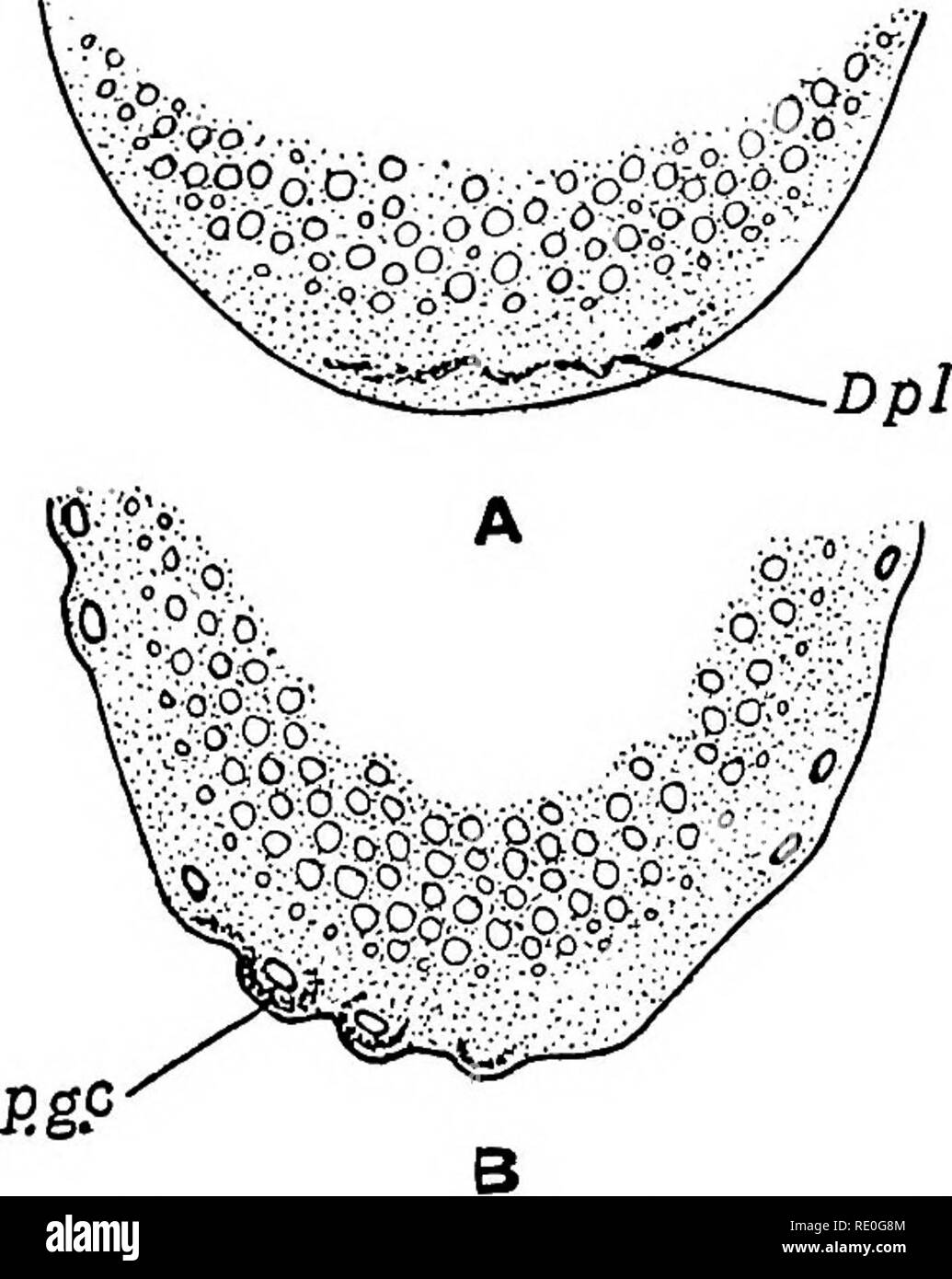 El Germen Ciclo Celular En Animales Las Células Las