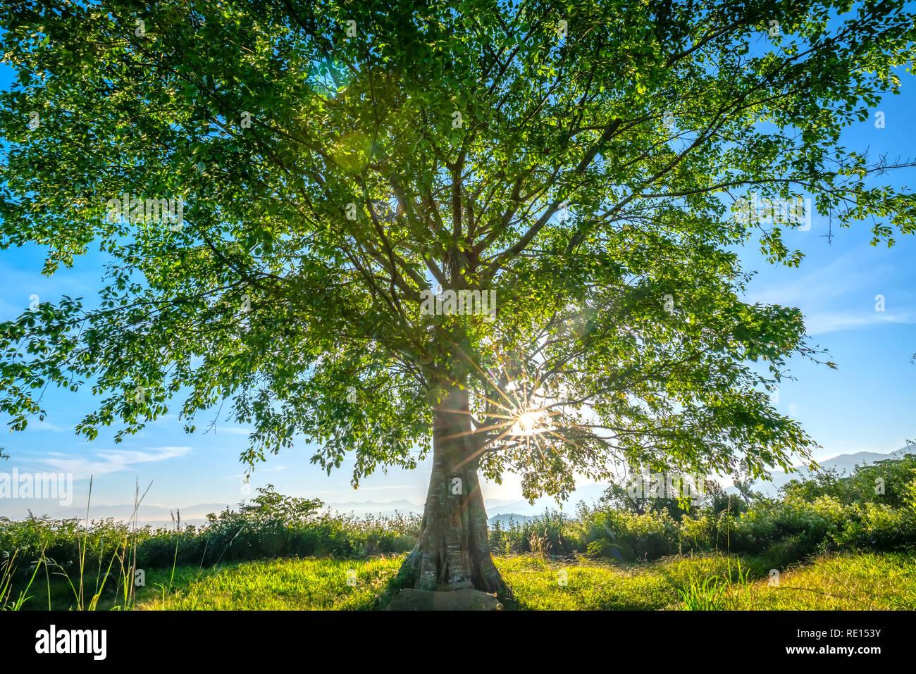 El viejo árbol bodhi es en el momento de la transformación de las hojas en el invierno, cuando el sol brilla a través del árbol para dar la bienvenida al nuevo día en las tierras altas de Vietnam Foto de stock