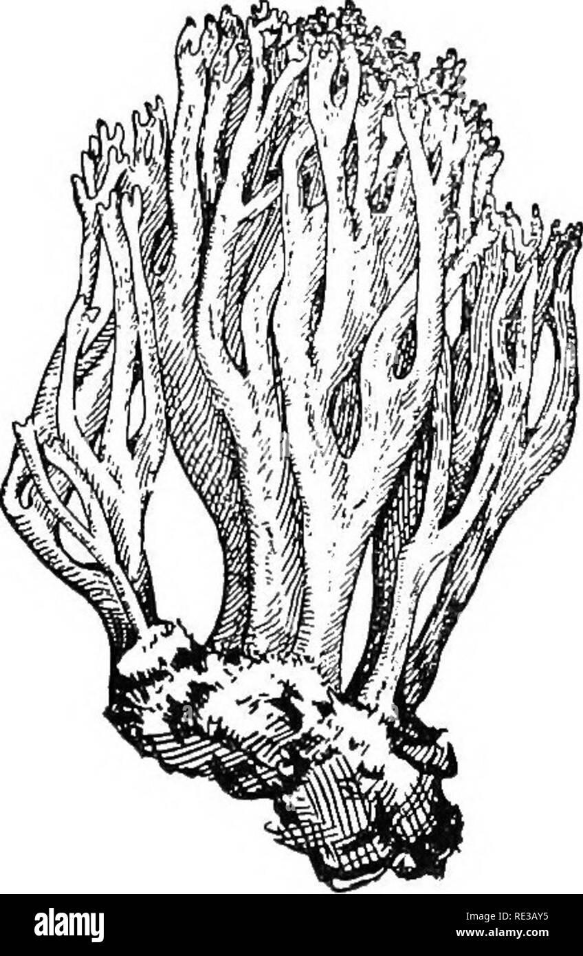 . Prácticas de botánica. La botánica. Fig. 209. Un árbol que destruyen el hongo (Polyporus sulfureus) creciendo en la base de un árbol de roble rojo alrededor de un sexto del tamaño natural. Fig. 210. Un coral-lilte toadstool (Clavaria) la mitad del tamaño natural champiñón, tiene sus esporas producidas en espinas. En profundos bosques, húmedo, a registros antiguos, una especie de Hydnum a veces produce una inmensa (20 a 25 libras), coral- como comestibles, órgano reproductivo. Un coral- como toadstool es Clavaria (Fig. 210). La toadstools y setas, ambos saprofíticos, parasitarias y están ampliamente distribuidos. Bosque y o- chard árboles Foto de stock