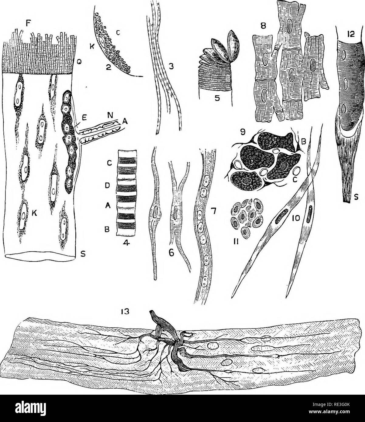 . La fisiología de los animales domésticos ... Fisiología, comparativo; fisiología veterinaria. 702 La FISIOLOGÍA DE LOS ANIMALES DOMÉSTICOS. a través de la fibra a intervalos regulares (membrana de Krause). Dentro de esto es la sustancia sarcous recubierto de grasa, o el tejido contráctil de la muscu- lar la fibra, que es muy amplio, y doblemente refractiva refracción, disco y los núcleos o músculo-corpúsculos. El músculo-corpúsculos son por lo tanto dentro del sarcolema, y es a expensas de su protoplasma. Fig. 271.-El tejido muscular, después Gkrlach. (Ellenberger.) ,1, esquema de las diferentes partes del muscular seccionado Foto de stock