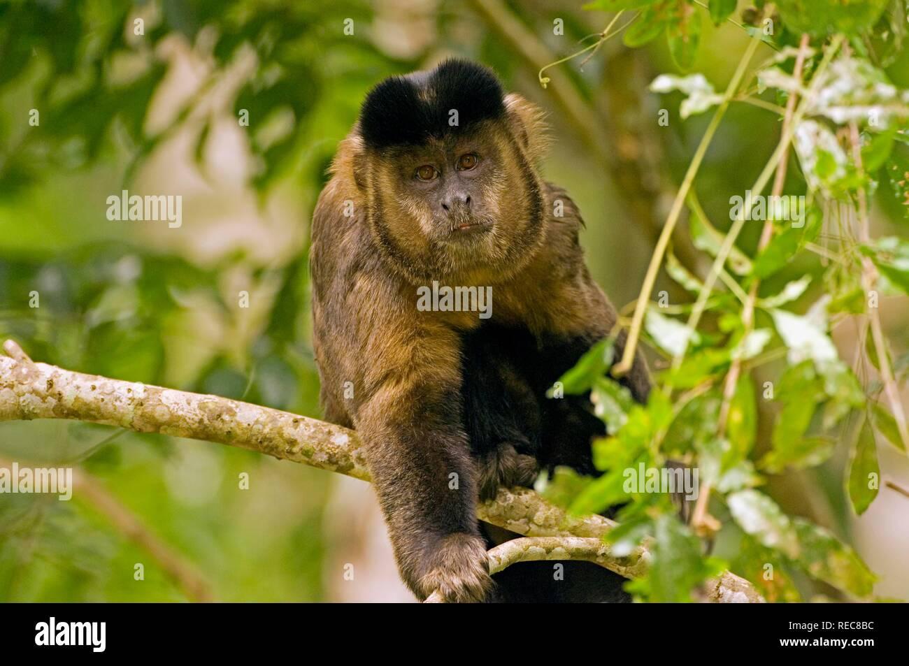 Cuerno negro capuchino (Cebus nigritus) Foto de stock
