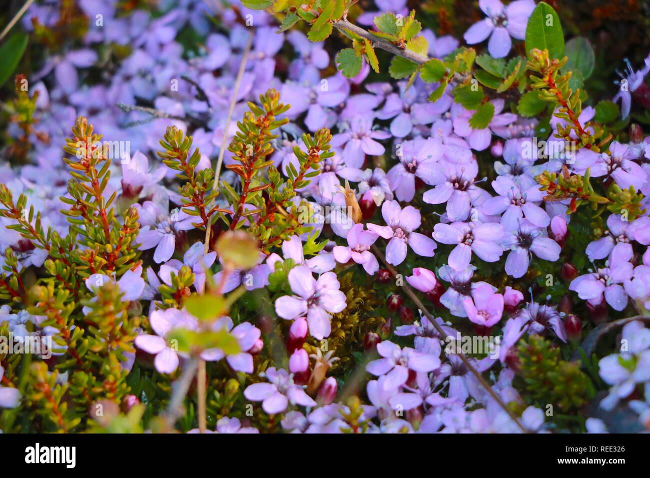 Lila Blumen Foto de stock