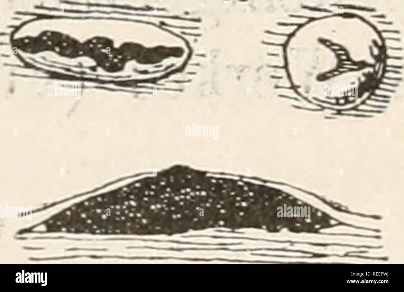 """. El Dr. L. Rabenhorst's Kryptogamen-Flora von Deutschland, Oesterreich und der Schweiz. Cryptogams -- Alemania; Cryptogams -- Austria; Cryptogams -- Suiza. -R>n 748 Cryptosporium Auf vertrockneten, abgefallenen Blättern von Ribes alpinum imRheingaU' ' Sali, 4705. Cr. maculans Cor da, Icono. Fung. I. pág. 2, fig. 31. Sacc., Syll. III. pág. 742. Cryptosporium maculans Corda. f). Ein Aststückchen von Salix mit dem Pilze en natürlicher Grösse. fjBy*) c b. Zwei schwach vergrösserte Sporenlager. 1 c. Ein schwach vergrößertes, senkrecht durch- .•**&"""". iÜ schnittenes Sporenlager ^^-^^^P R $& Foto de stock"""