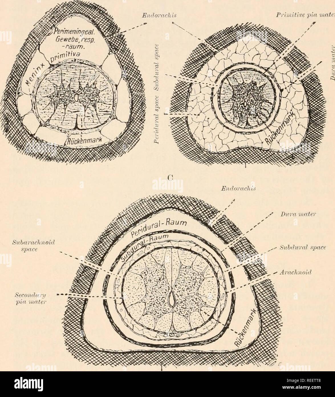 """. Anatomía Comparada de los vertebrados. Anatomía, comparativo; Vertebrados. 190 La anatomía comparada la apariencia de un espacio linfático en la membrana meníngea primitivo, dividirlo en un exterior duramadre spinalis y un primitivo interior pia mater. Existe pues un pi /•/<//////I O /</n./-""""I xjxtir, externos a la duramadre, y una xitlitlii.nil .syvmr entre<l la primitiva pia (B). B pasador iiiiitire mater. espacio fi(!. 146.- La inversión de las membranas de la médula espinal EN EL JEFE GROCPS vertebrados. Una, Peces ; B, anfibios y Sauropsida ; C, Mammalia. Semidiagrammatic. (Después de la STER Riic/i). Foto de stock"""