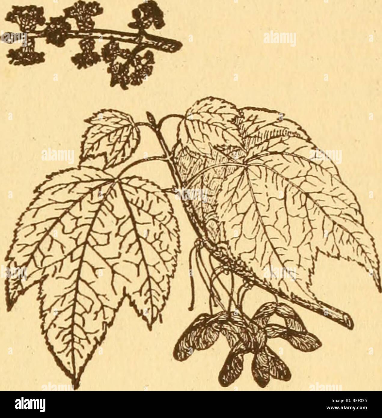 8f6dd0b41 . Árboles Comunes de Nueva York. Árboles  árboles. de Nueva York 107 arce  rojo Acer tubtum
