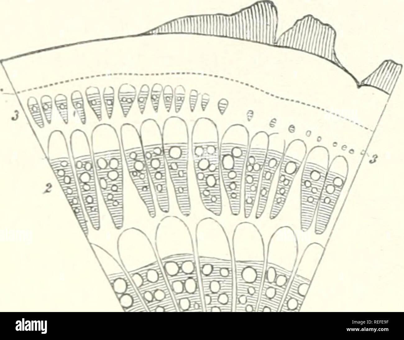 56b736500 . Anatomía Comparada de los órganos vegetativos de las fanerógamas y  helechos. Anatomía vegetal  fanerógamas  helechos.