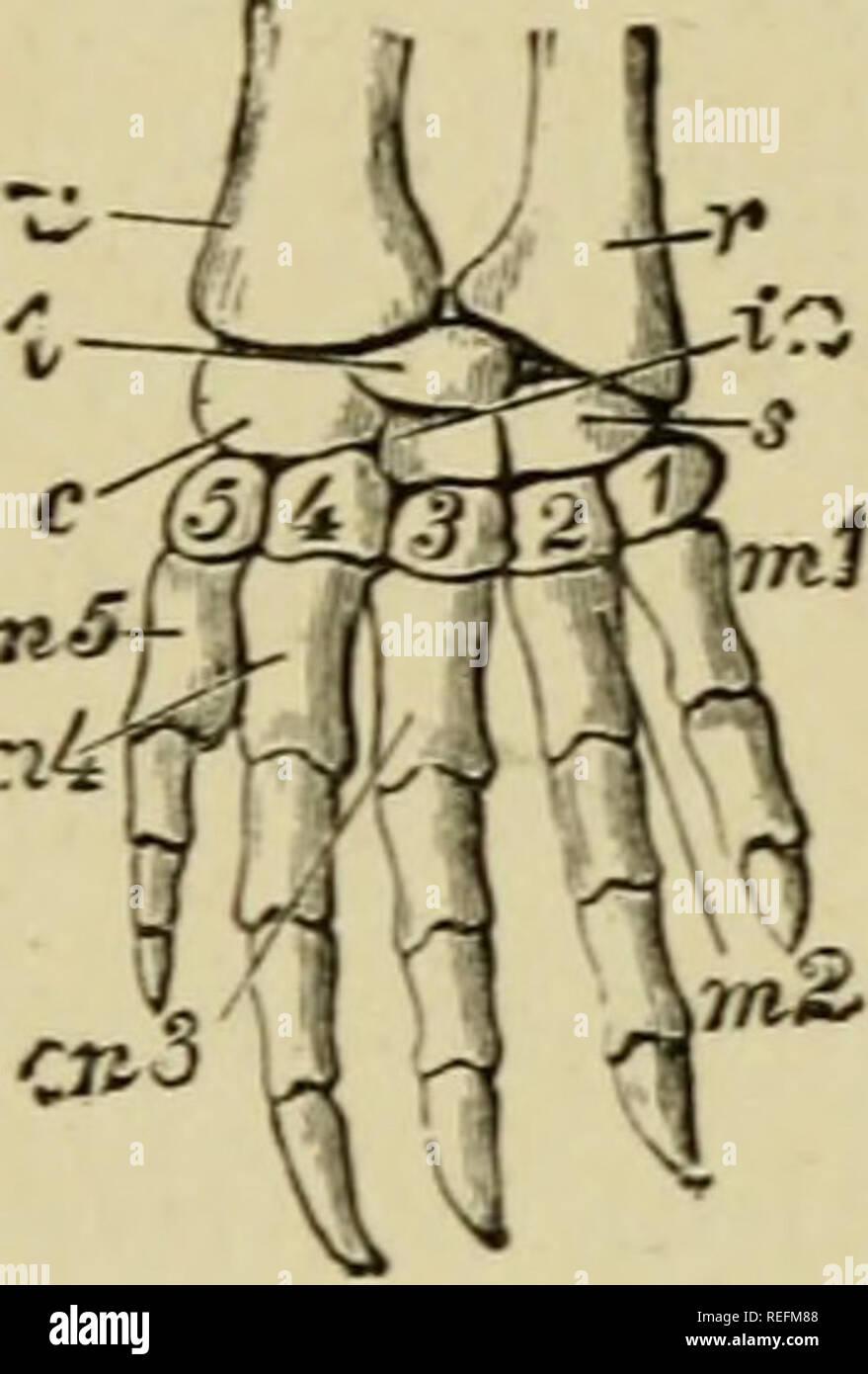 Trapezium Skeleton Hand Imágenes De Stock Trapezium Skeleton Hand