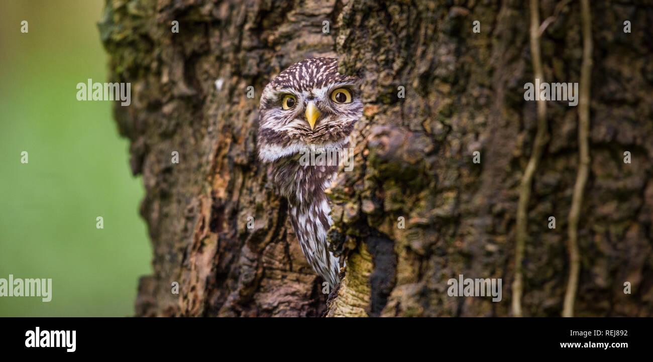 Retrato de un pequeño búho cautivo mirando desde su escondite en un bosque agujero de árbol Foto de stock