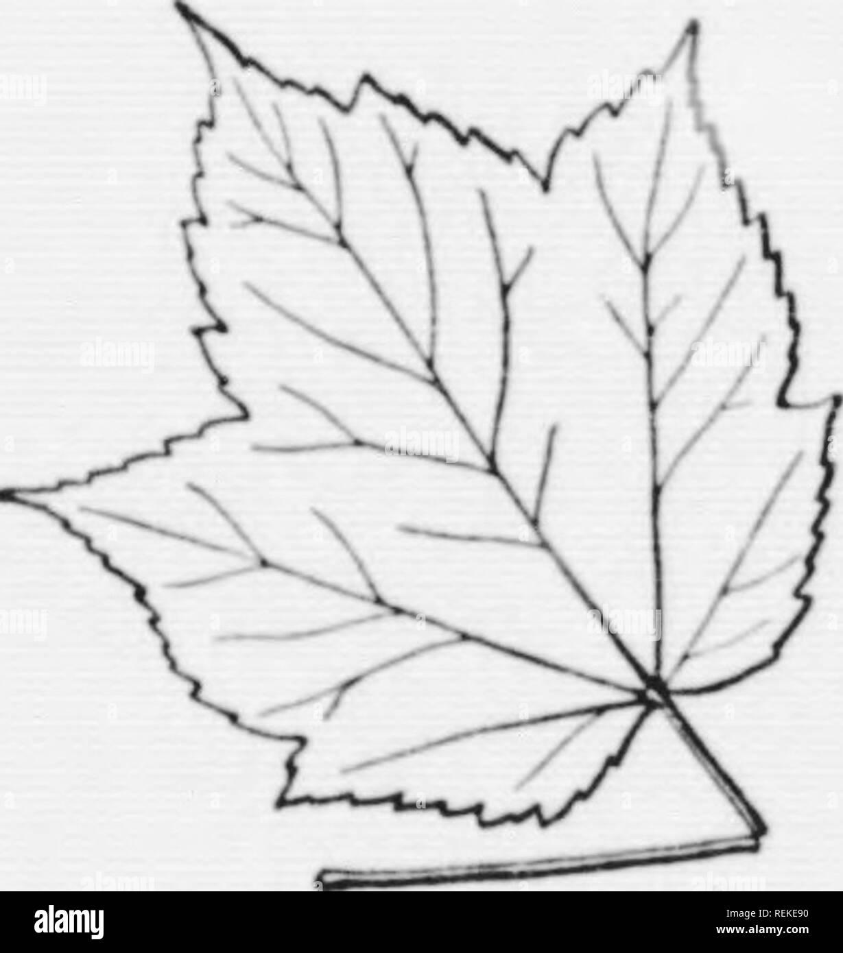 . Clave ilustrada para el salvaje y comúnmente cultivado árboles del noreste de Estados Unidos y Canadá adyacente [microforma] : se basa principalmente en caracteres de hoja. Árboles; Árboles;; Arbres Arbres. f^ 126 Ki:V GKNKRA Y ESPECIES i86. Simi Ixavcs)U' 187. 186. Eoaves c(.nii...un.l. Wcslcrn Xcw En-tierra hacia el sur y wotward. Al>(), sacrificio y (.scape.l. (Li.i:. -^7 ' Box Elder, Ash- dejaron el arce, .s:y Xo^hikIo L. 187. Juic-e lechoso. El culto. Xativo en Eurasia. (Eiijs. 2^6. 2,vS.) Noruega Maple, Acer plaianoidcs E. 187. Juici' no leche) 188. 188. Elower (o fruta) tallos dispuestos alon.t', un com- m Foto de stock