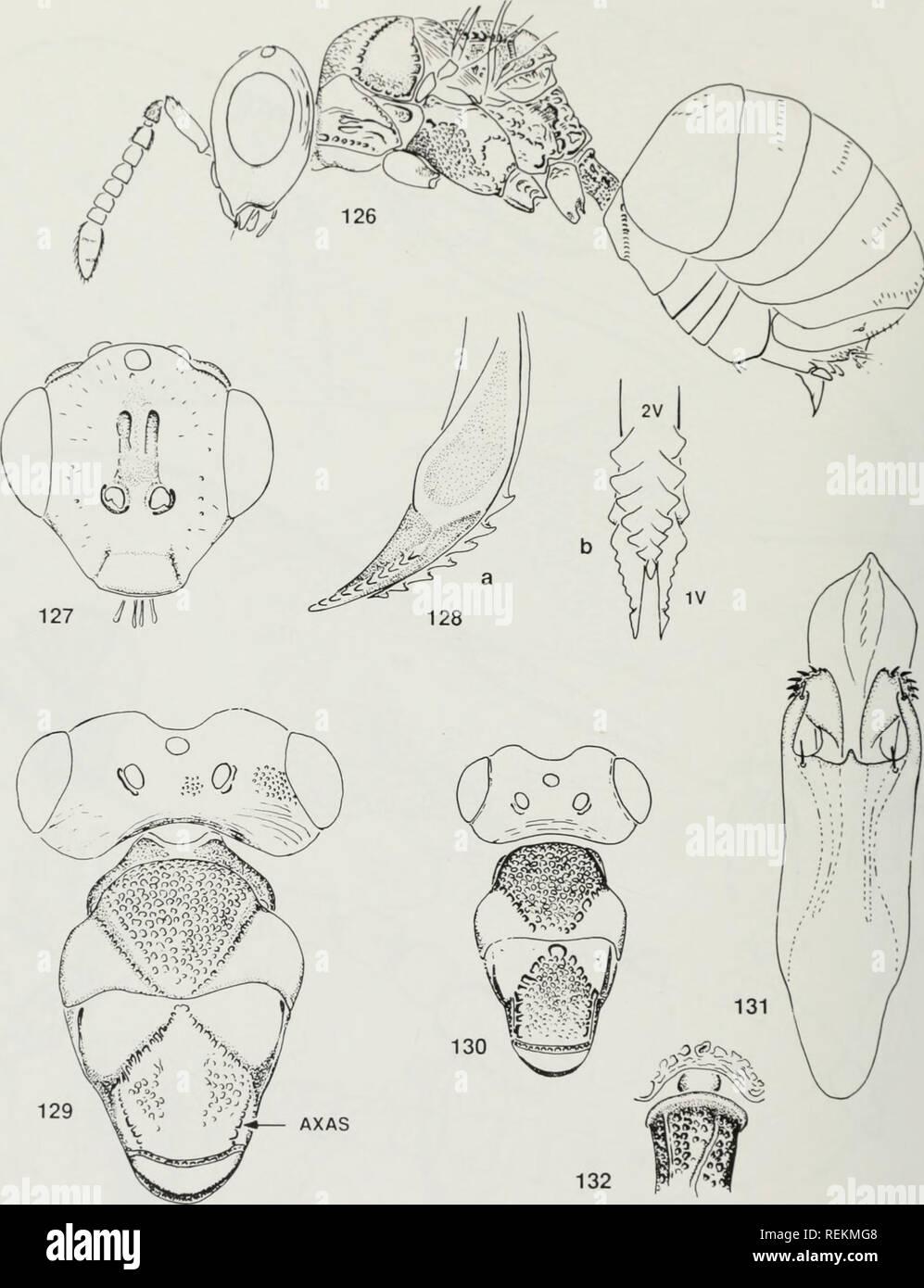 . Clasificación y evolución de la Oraseminae en el viejo mundo, incluidas las revisiones de dos géneros estrechamente relacionados de Eucharitinae (Hymenoptera: Eucharitidae). Eucharitidae; Insectos. Las Figs. 126-132. Orasema. 126-128. O. me^lahra. 9: 126. Habitus; 127. Cabeza en vista frontal: 128. Ovipositor en lateral (A) y (b) Vista dorsal. 129. O. synempora, cabeza y mesothorax en vista dorsal. 9. 130. O. I>lahra. Cabeza y mesothorax en vista dorsal, 9. 131.0. vali;iits. los genitales. 6. 132. O. I>l(ihra. base del peciolo en dor- sal vista. Abreviaturas: AX COMO = axillular sulcus; 1V-2V = primera y segunda vai Foto de stock