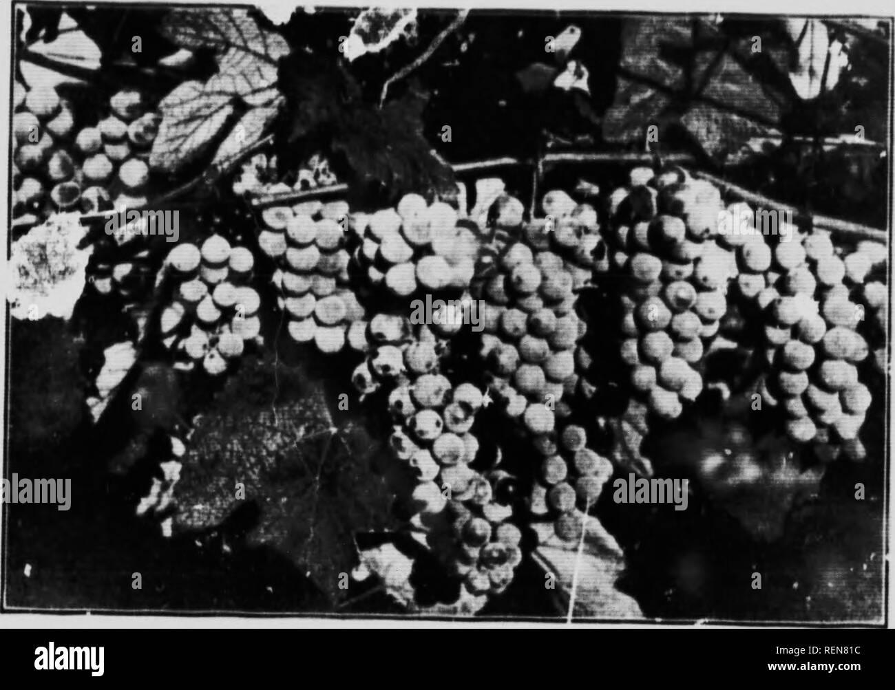""". Cultivo de Frutas en Ontario, Canadá [microforma]. Fruto de la cultura; la arboricultura fruitière. ( m;iiii- hasta,I IL.ir yo!,.;,' .,M,tiri..ii. malos un liirht. Ji,ir , TIR.ui'l h!; .Irjiiri'.) SriM- nii,'ii> M, L'vspiiciciui-. thru malos !i -illKh.-Ull. Ontarlit-K lUvnl lluvia hace Irri UUtlon InnvieHsary. mil irrnv, I. II (tiil.iriM h:ii'.'i ri:il ii.Kniilairr. .,Il ur. r ii,. l:IiI.,,ix m ''--t>Tli ('aii;i.l;i AII.l hv li; ..  ^'â¢i''-- ''V n.oii ..f- viiiaikal.U'iiii ndvanrairt^ (liiiiati 0 me.f fniit- L'i""""Uiir' . i-tii. - thrr' aire. particil- !a -h III (:., H.  Foto de stock"""