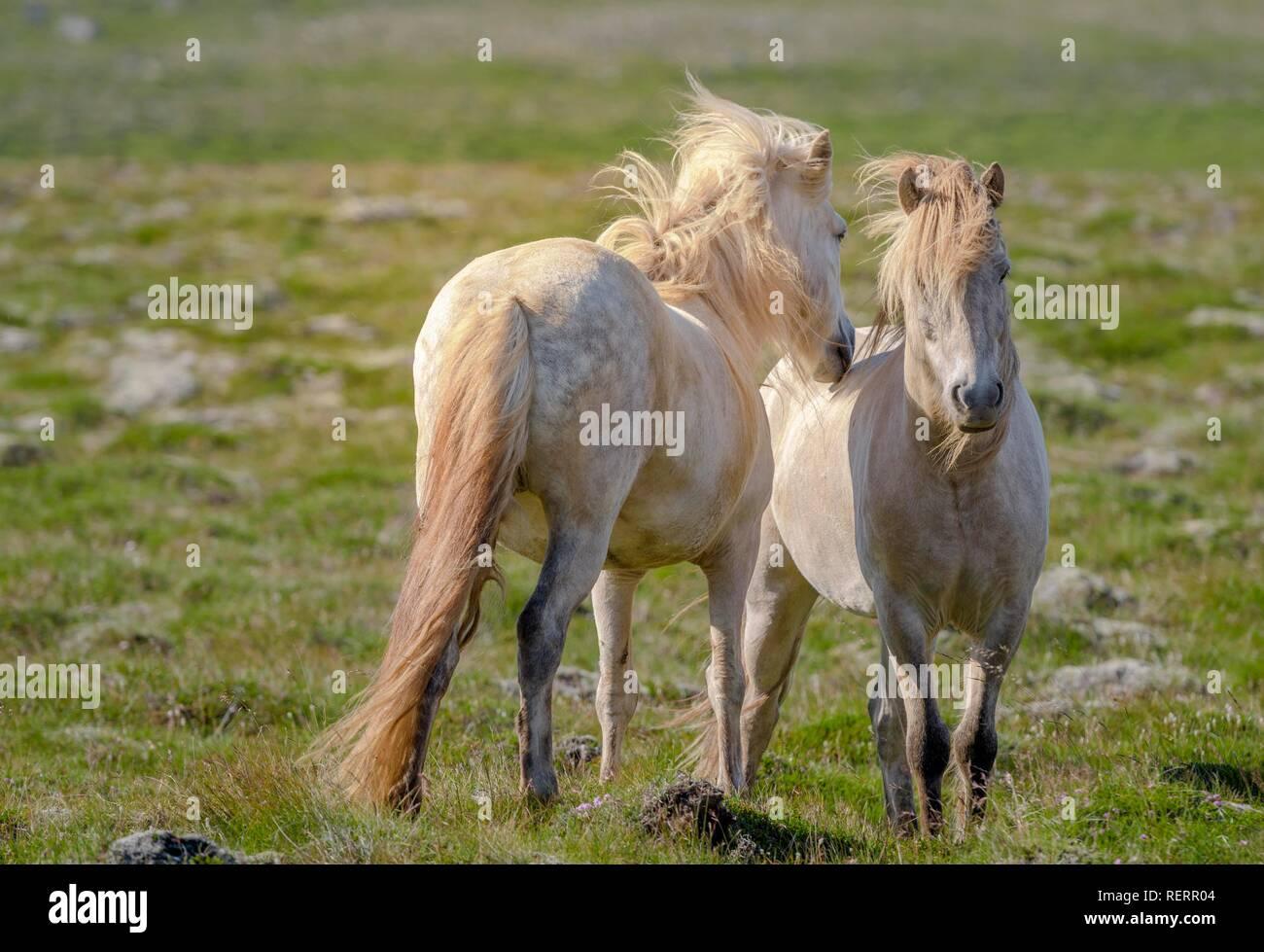 Dos blancos caballos islandeses grooming fur en la pastura, viento que sopla en mane, Sauðárkrókur, Akrahreppur, Norðurland vestra Imagen De Stock