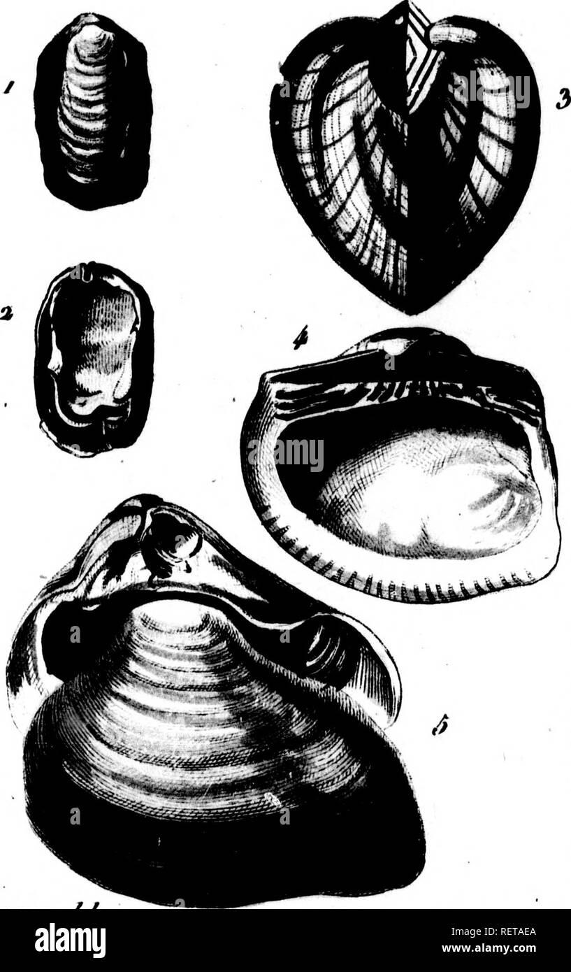 """. Histoire Naturelle des coquilles [microforme] : contenant leur descripción, les moeurs des animaux qui les habitent et leurs usos ; avec cifras dessinées d'après la naturaleza. Mollusques; Sciences Naturelles; moluscos; historia natural. ro/.J/r.Ptiç.64 /año. 20. 7>iret>e iM. /^s'4f tPi>M/p. i . """"Yo . L'rî OiioMiline laquo 4- ï-'i Cuonlléo rrassaiino v> . . F.a (^L'assatollo hossiio , 1^1. Por favor tenga en cuenta que estas imágenes son extraídas de la página escaneada imágenes que podrían haber sido mejoradas digitalmente para mejorar la legibilidad, la coloración y el aspecto de estas ilustraciones pueden no estar perfectamente resembl Foto de stock"""