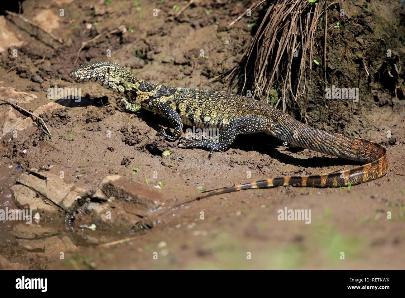 Monitor del Nilo, el Parque Nacional Kruger, Sudáfrica, África (Varanus niloticus) Imagen De Stock