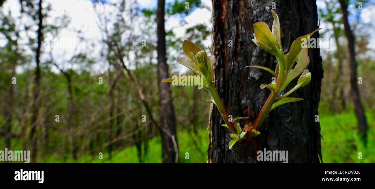 Eucaliptos reshooting de troncos cubiertos de ceniza ennegrecido tras dichas quemas, Mia Mia State Forest, Queensland, Australia Foto de stock