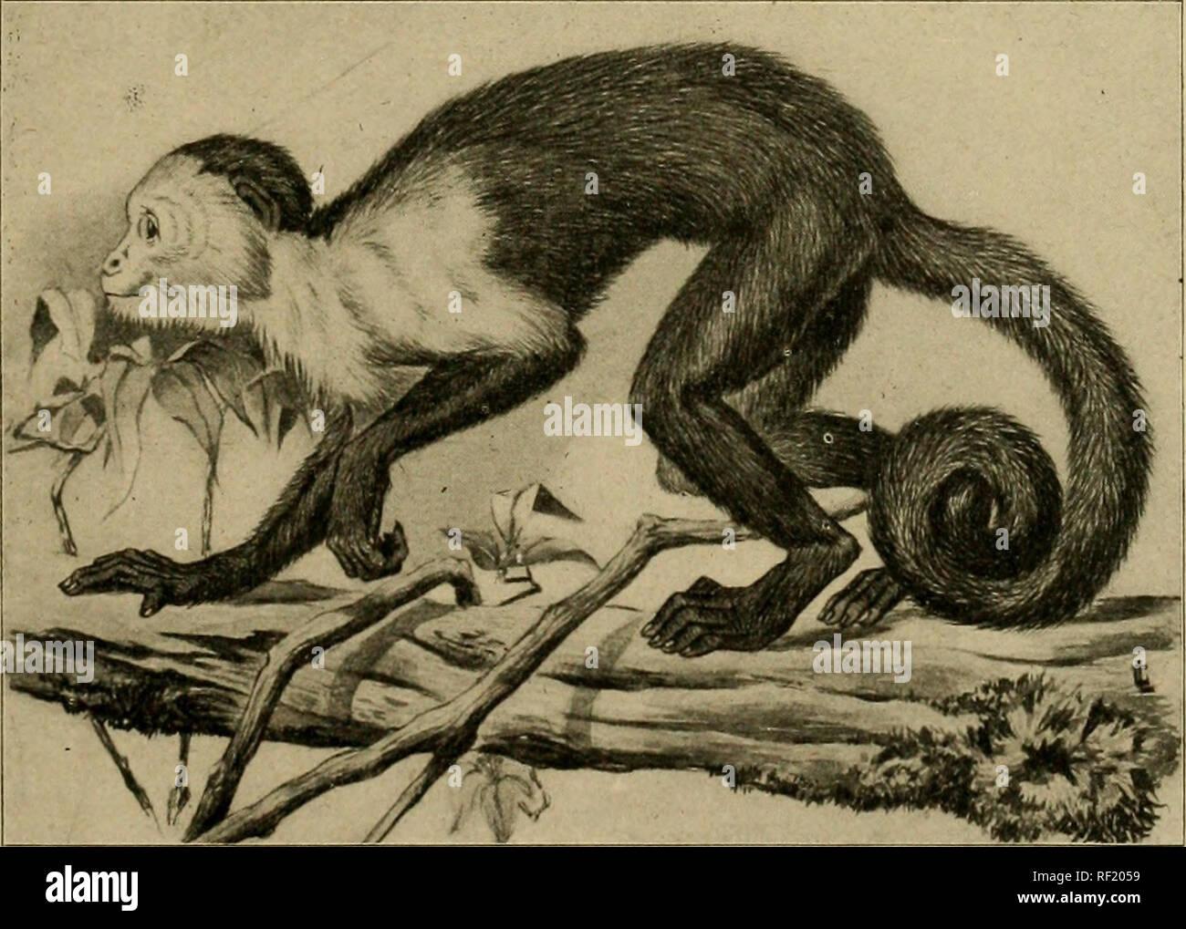 ". Un catálogo de la colección de mamíferos en el Museo Colombino Field. Museo Colombino Field; mamíferos. CEBUS. 561 Cebus pallidus gris, Cat. Monos, lemures &Amp; de comer fruta murciélagos Brit. Mus., 1870, pág. 49, nº 3. Pale capuchinos, 1-3. Adulto (J* P. Caicara, Venezuela. G. K. Cherrie, 4. Juv. 6^ P. Caicara, Venezuela. G. K. Cherrie. 5. Adulto 9 p. de Caicara, Venezuela. G. K. Cherrie, 6. Adulto ? P. Alta Gracia, ""Río Oronoco, Venezuela. G. K. Cherrie. 984. Cebus capucinus (Linnaeus). Simia capiichia Linn., Syst. Nat., i, 1758, pág. 19; i, 1766, pág. 42. Cebus nigrivittatus KhhdindX Wsign.,. Akad. Miinche Foto de stock"