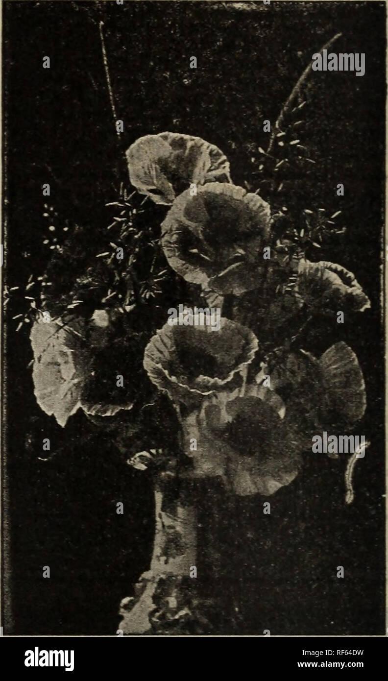 Aureolas Gigantes holmes probado semillas : 1902. viveros de harrisburg