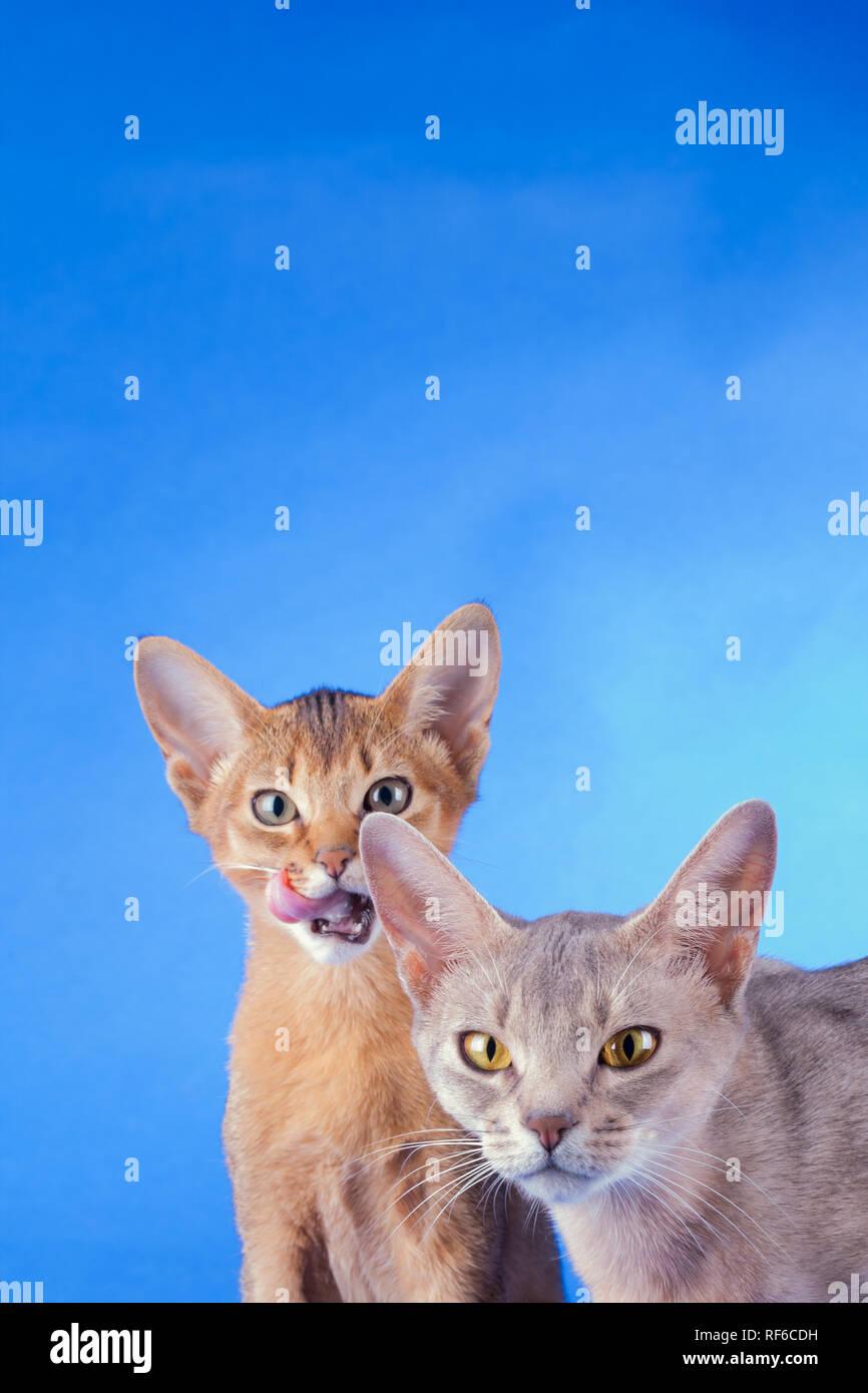 Dos Gatos Abisinio Ruddy Kitty Y Adulto Sobre Un Fondo Azul Foto